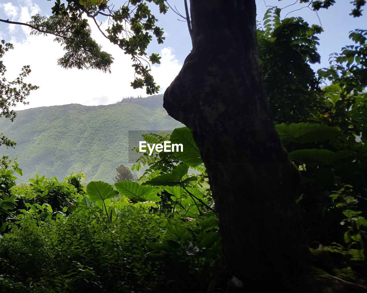 tree, plant, nature, growth, environment, outdoors, leaf, plant part, mountain, sky, land, tree trunk, freedom, trunk, green color, tranquility, landscape, forest, positive emotion, beauty in nature, leaves