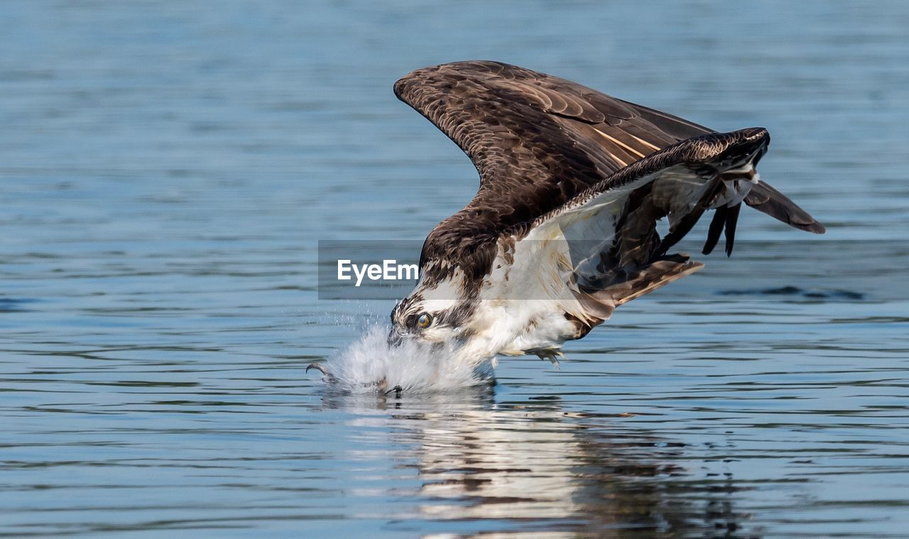 animal themes, animal, animals in the wild, water, bird, one animal, animal wildlife, vertebrate, waterfront, lake, no people, day, nature, flying, spread wings, water bird, swimming, outdoors, flapping