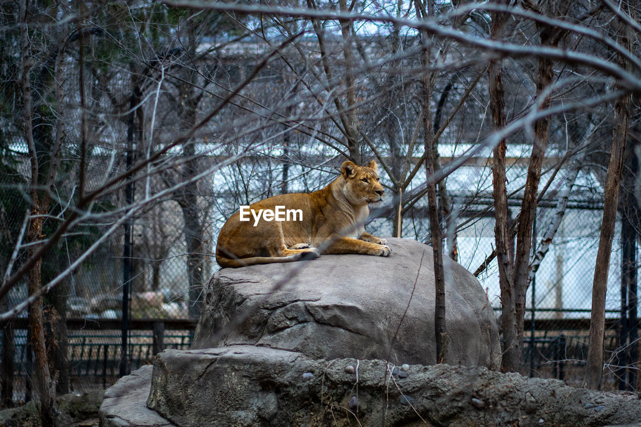 mammal, tree, animal themes, animal, feline, animal wildlife, animals in the wild, cat, one animal, bare tree, plant, branch, no people, rock, vertebrate, solid, nature, sitting, rock - object, day