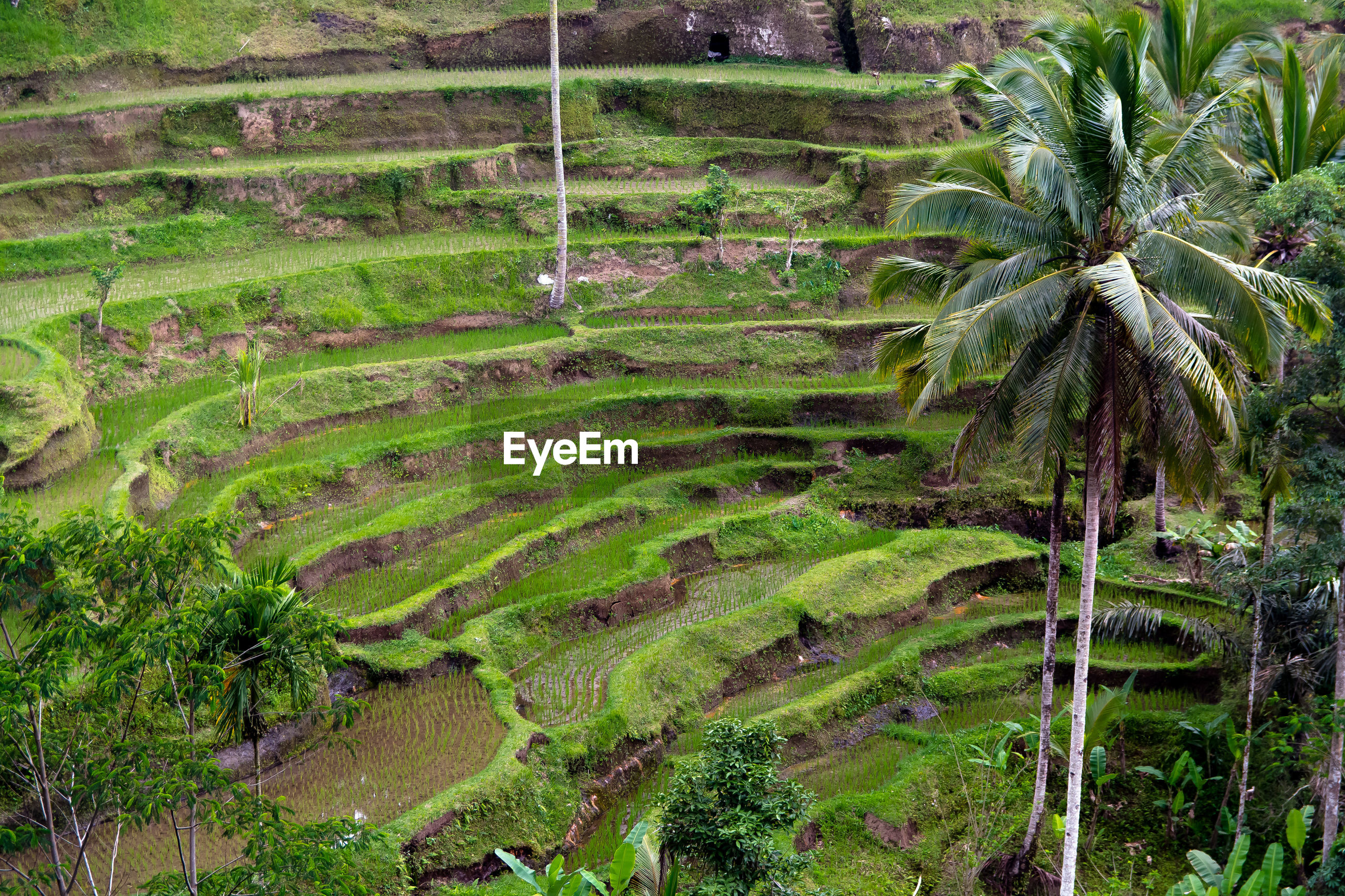 Palm trees growing by rice terrace