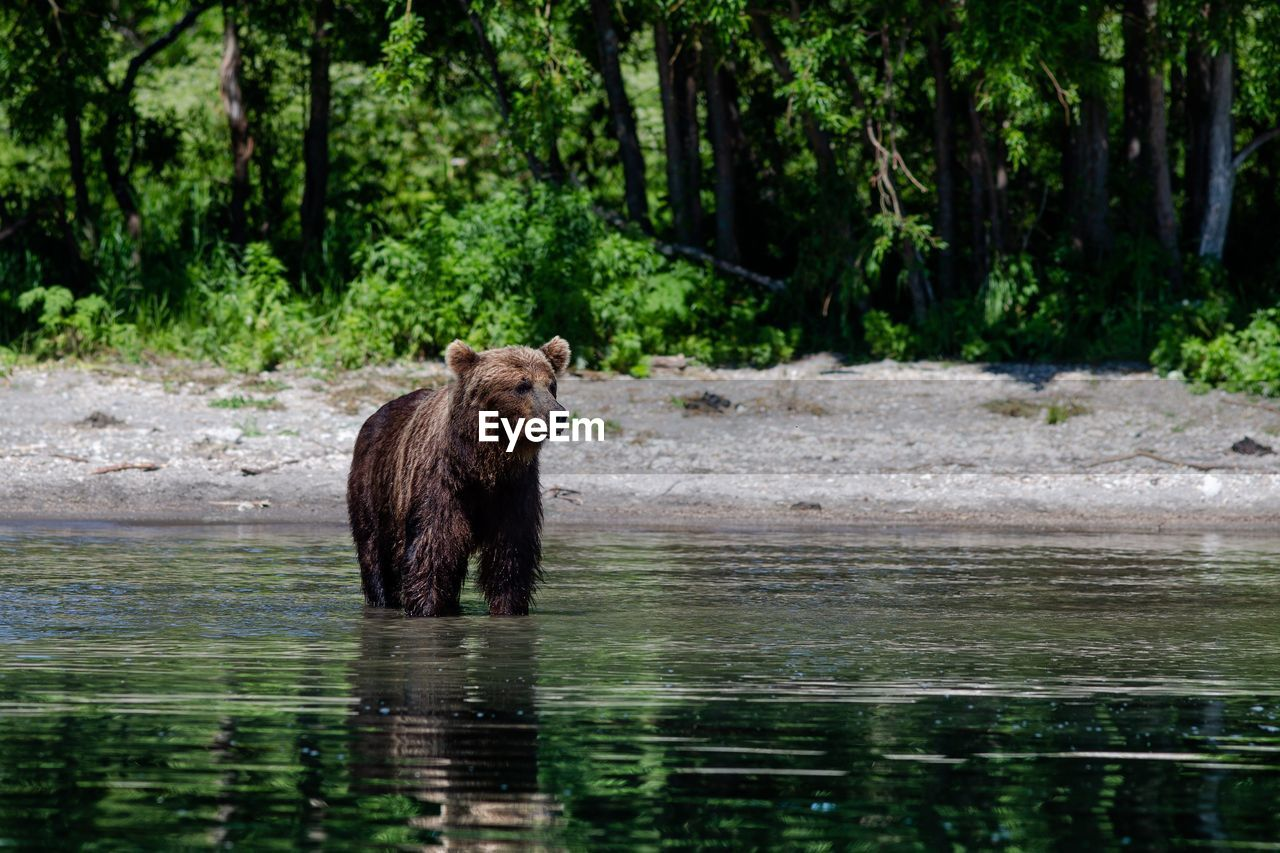 animal, animal wildlife, animals in the wild, animal themes, water, mammal, tree, bear, one animal, plant, vertebrate, forest, nature, no people, day, river, outdoors, waterfront, woodland