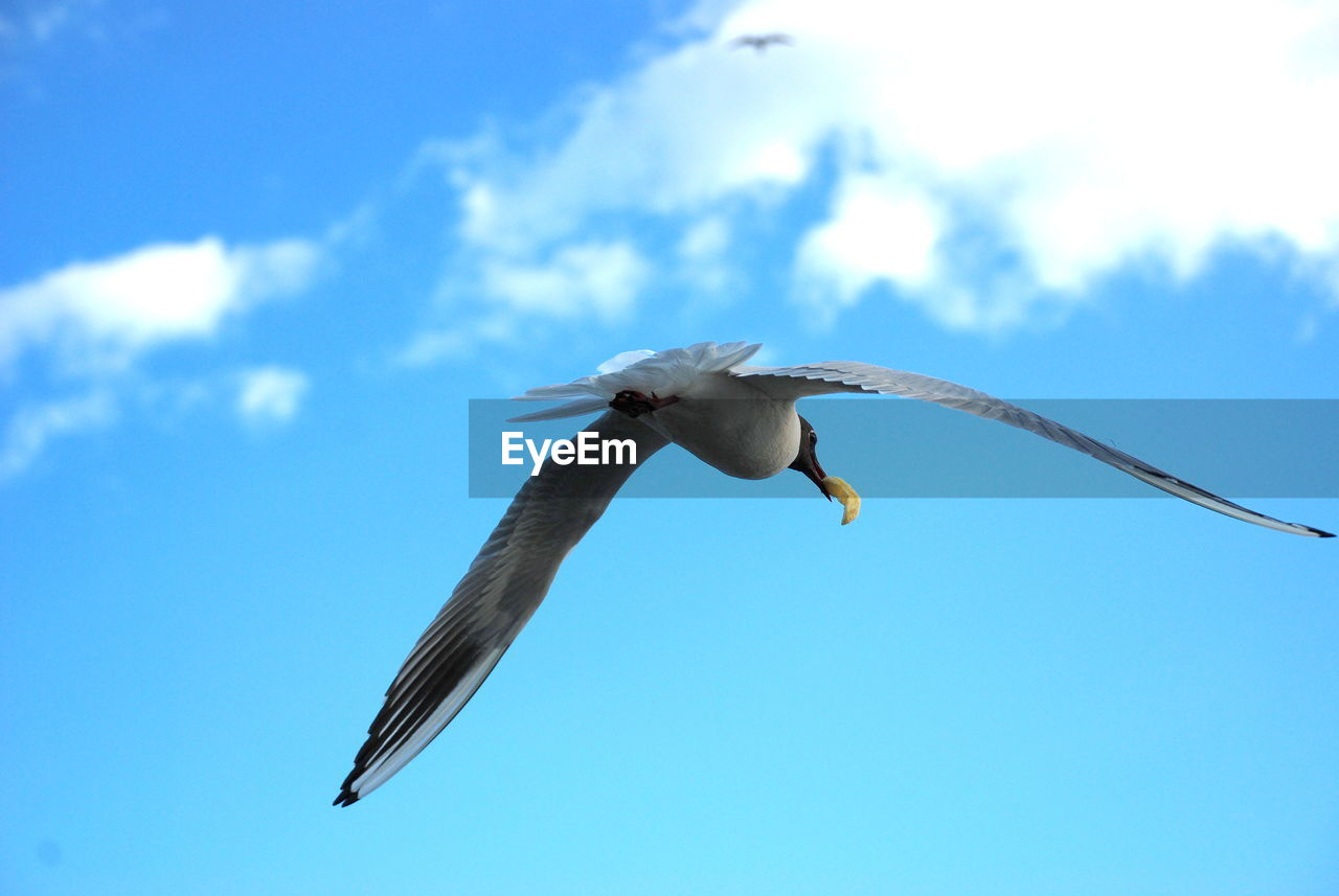 animal wildlife, animals in the wild, bird, animal themes, animal, flying, vertebrate, spread wings, sky, one animal, low angle view, blue, mid-air, seagull, nature, no people, motion, cloud - sky, day, outdoors