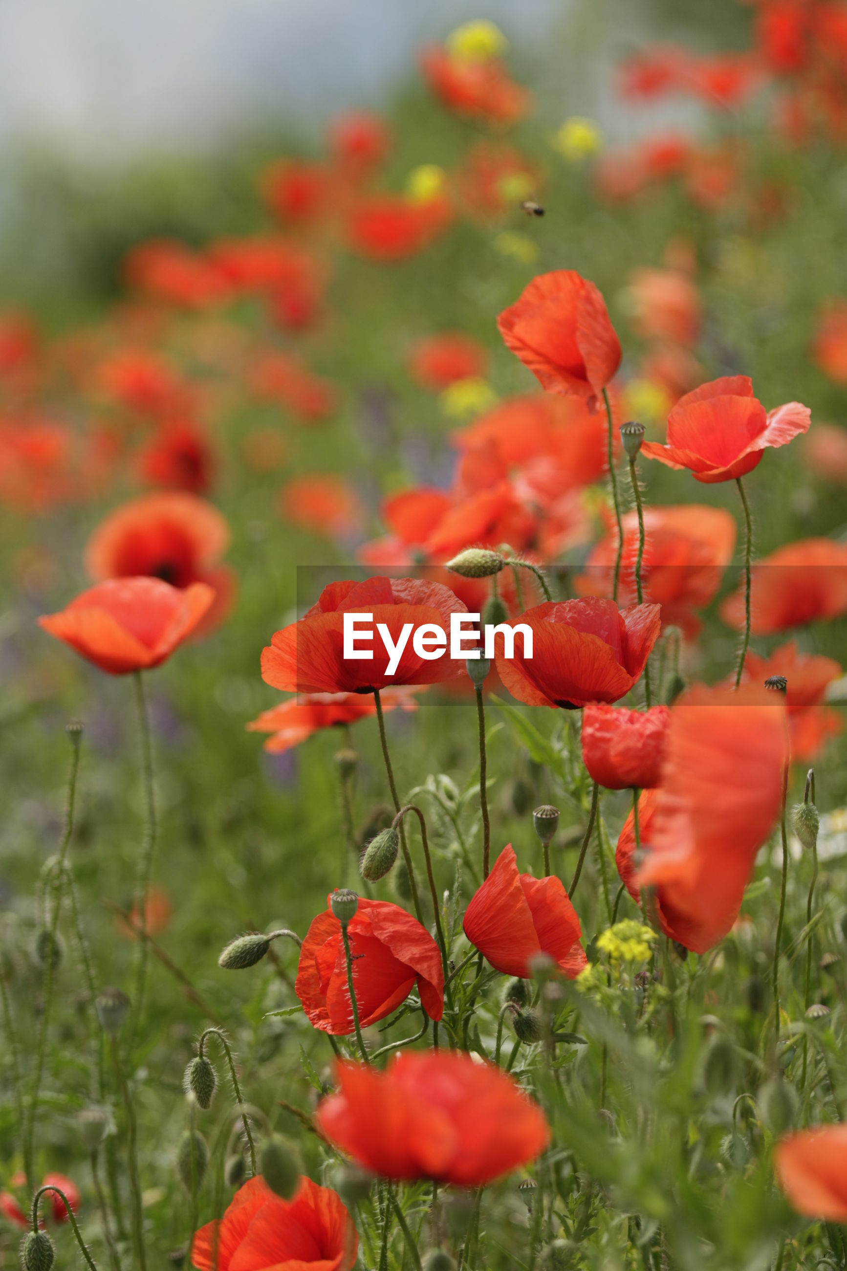 RED POPPY FLOWERS BLOOMING ON FIELD