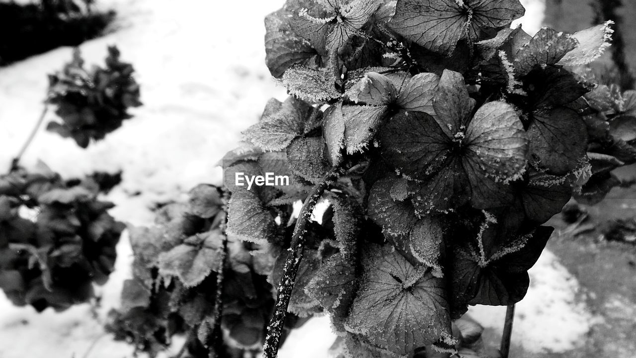 nature, outdoors, beauty in nature, day, focus on foreground, close-up, winter, flower, no people, snow, flower head, freshness