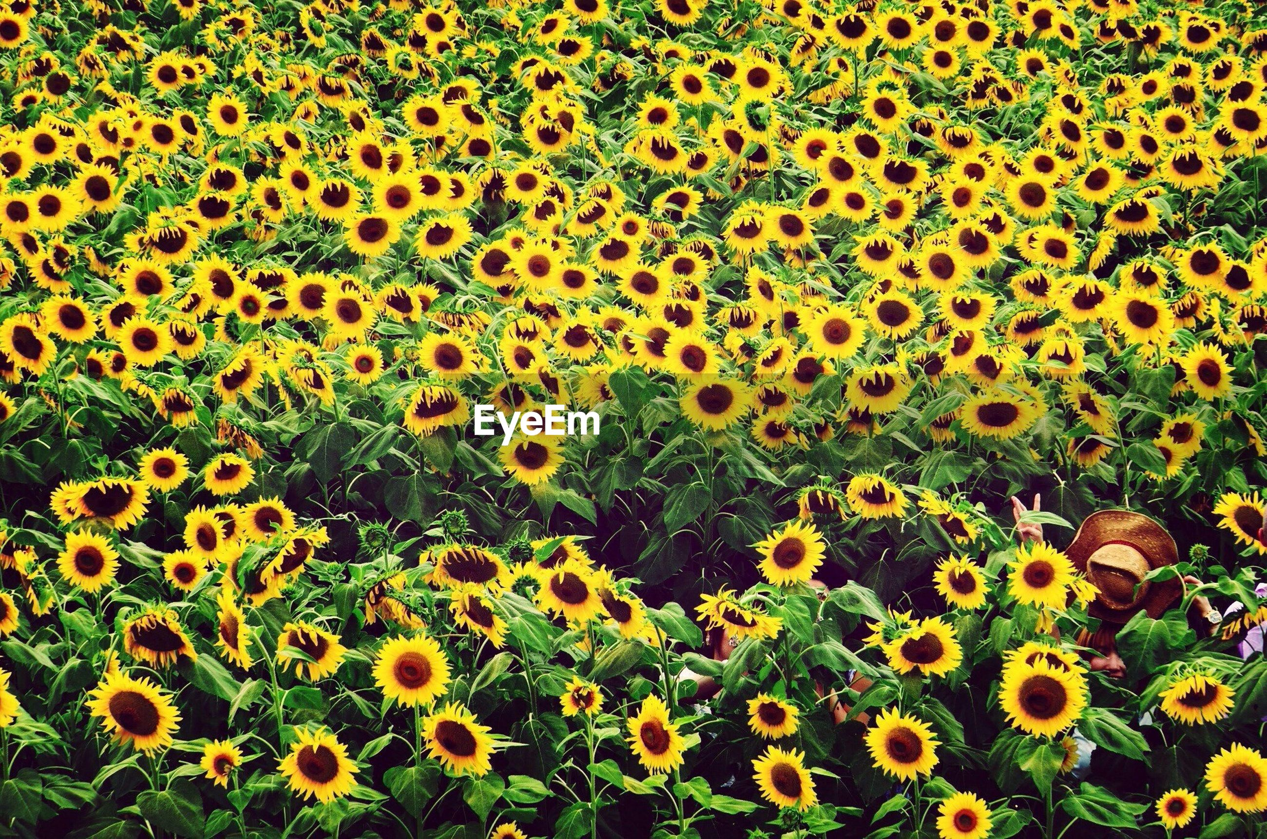flower, yellow, freshness, growth, fragility, beauty in nature, petal, flower head, blooming, nature, full frame, plant, field, high angle view, backgrounds, abundance, in bloom, blossom, sunflower, outdoors