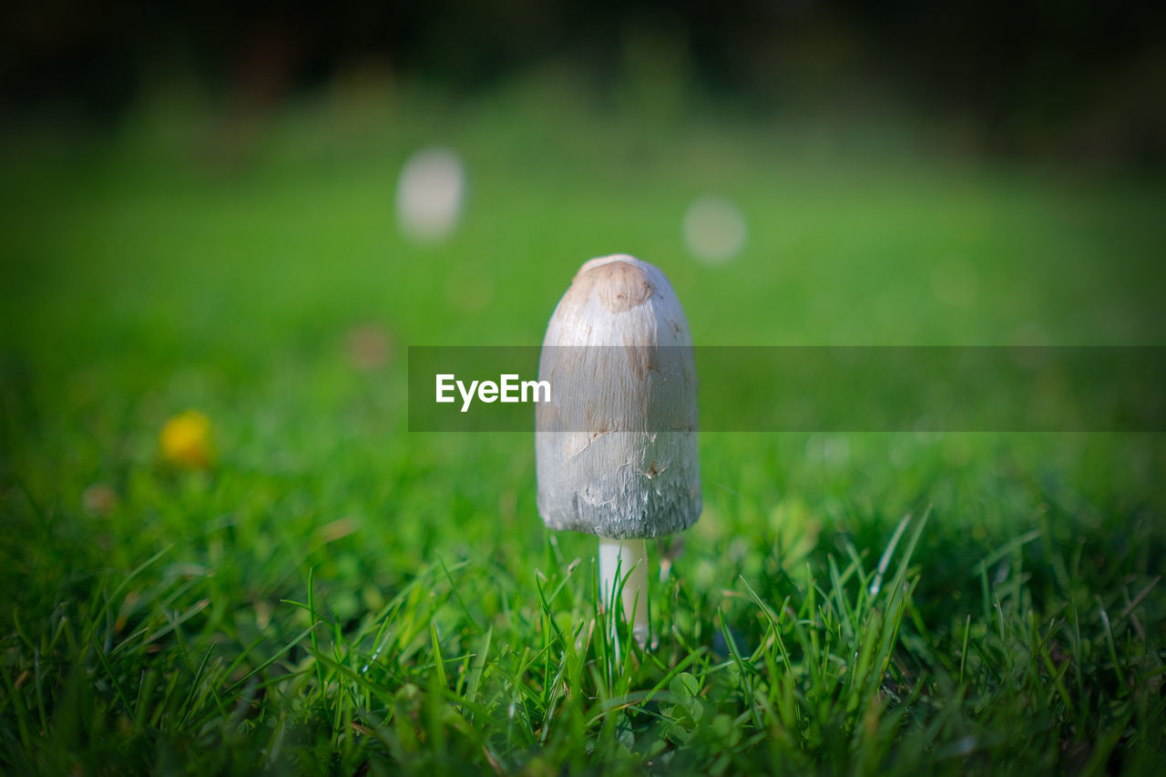grass, plant, selective focus, green color, growth, fungus, mushroom, food, land, close-up, field, nature, no people, vegetable, day, toadstool, food and drink, freshness, beauty in nature, outdoors, surface level, dew