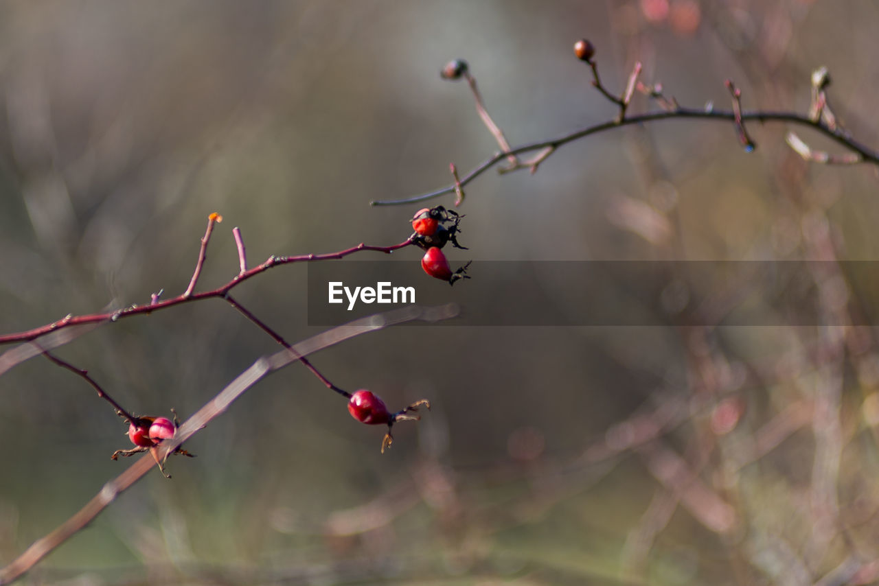 plant, fruit, red, focus on foreground, tree, food and drink, growth, berry fruit, healthy eating, food, no people, close-up, rose hip, day, nature, freshness, beauty in nature, branch, twig, wellbeing, outdoors, rowanberry