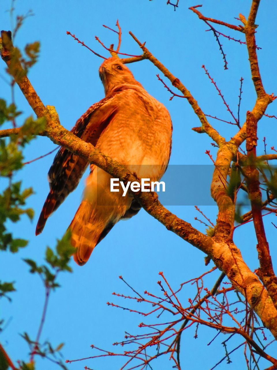 tree, low angle view, plant, branch, vertebrate, animal, one animal, animal themes, bird, sky, perching, animal wildlife, animals in the wild, nature, no people, day, bare tree, outdoors, clear sky, focus on foreground, eagle