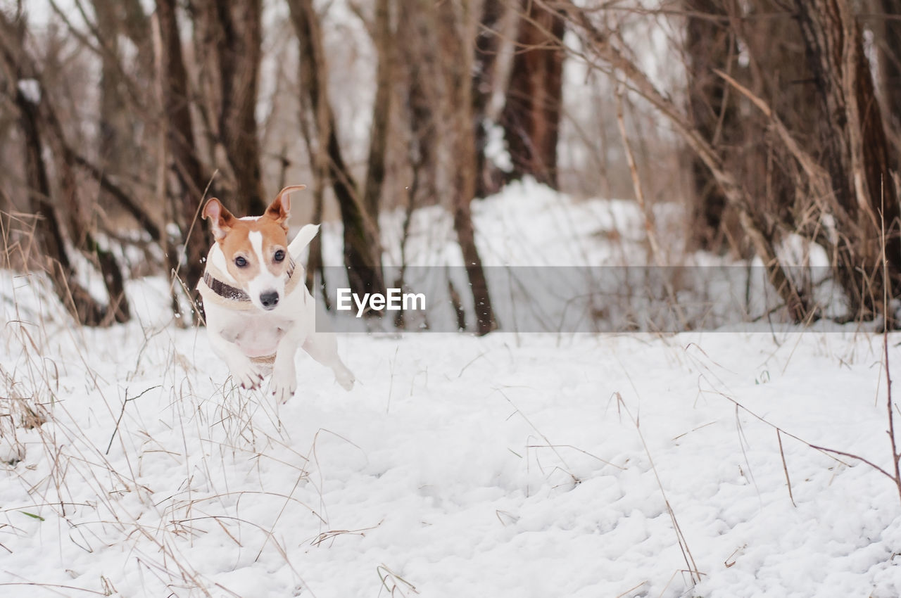 Portrait of dog running on snow field during winter