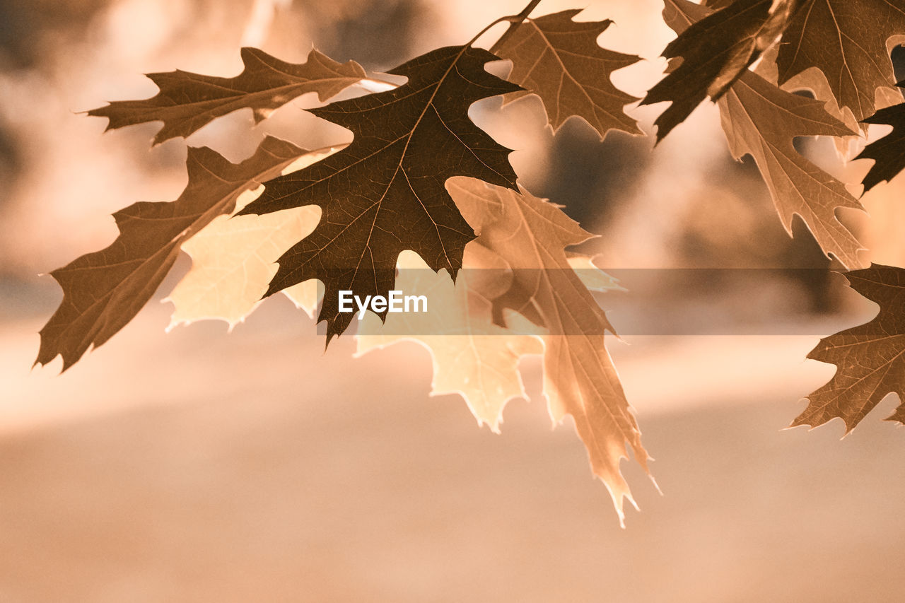 leaf, plant part, no people, nature, focus on foreground, close-up, tree, beauty in nature, autumn, plant, vulnerability, change, dry, fragility, outdoors, day, leaves, hanging, shape, sunlight, maple leaf, natural condition