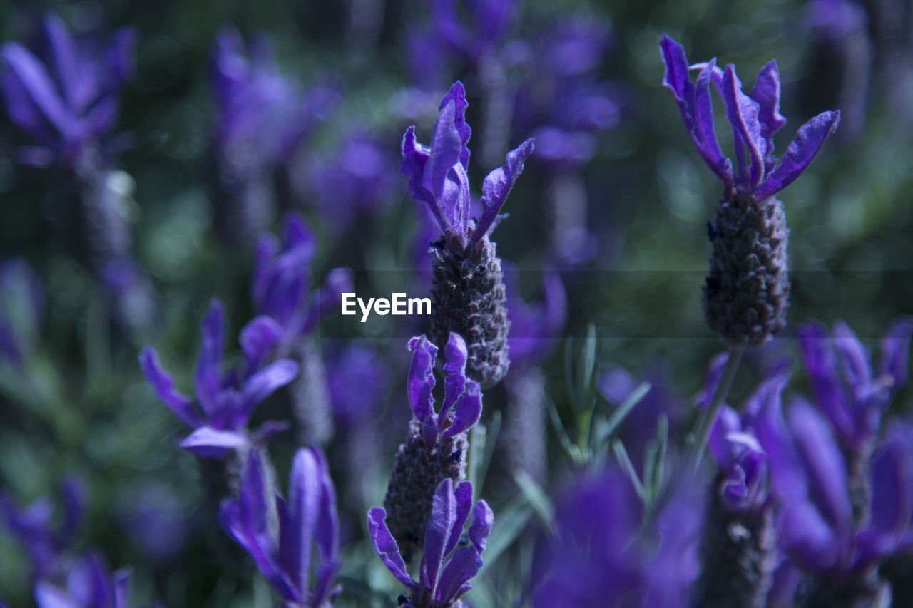 purple, flower, flowering plant, vulnerability, fragility, plant, freshness, beauty in nature, close-up, nature, growth, no people, petal, lavender, day, inflorescence, selective focus, flower head, focus on foreground, outdoors