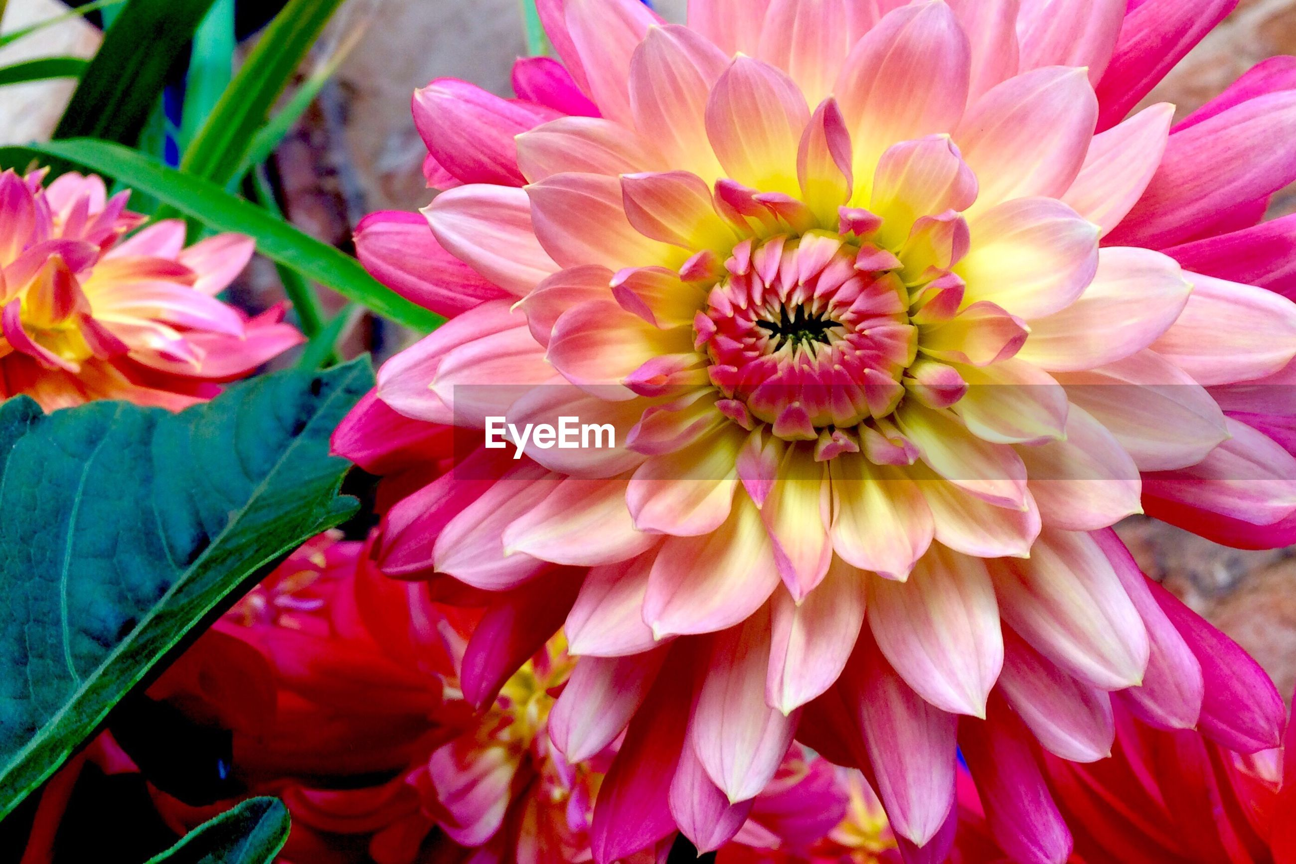 High angle view of pink dahlia blooming at park
