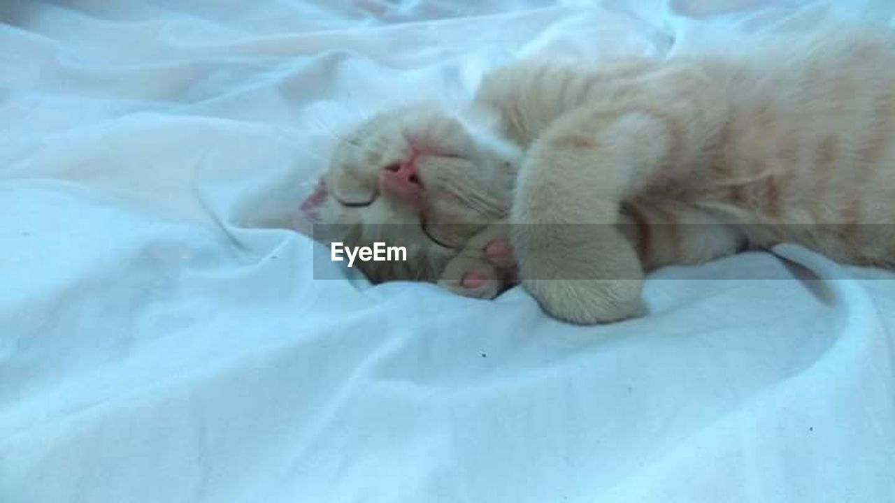 domestic cat, animal themes, pets, one animal, domestic animals, feline, mammal, sleeping, indoors, no people, bed, paw, close-up, day, persian cat