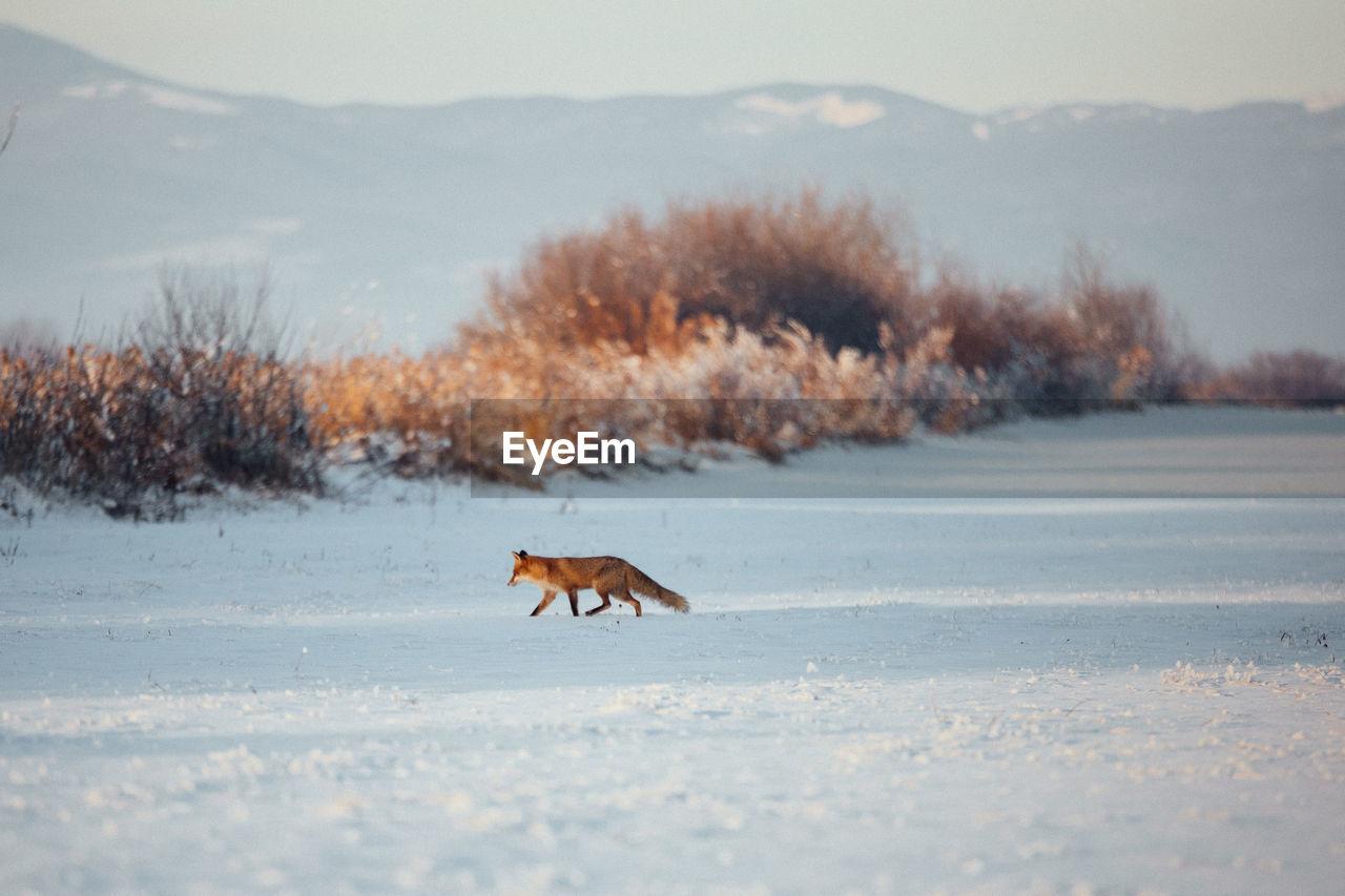 Fox Walking On Snow Field