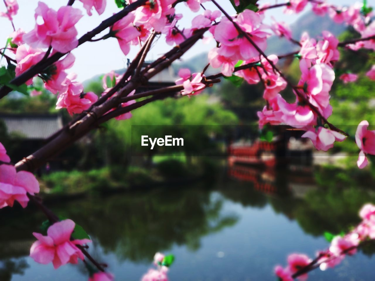 pink color, plant, flower, flowering plant, water, beauty in nature, nature, freshness, growth, fragility, tree, lake, day, petal, vulnerability, close-up, blossom, focus on foreground, outdoors, no people, springtime, cherry blossom, cherry tree, flower head