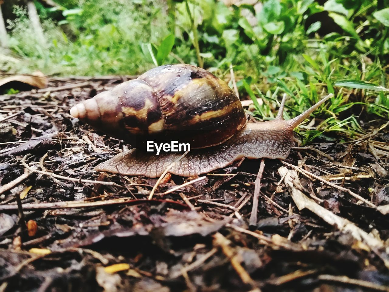 snail, one animal, animal themes, animals in the wild, wildlife, nature, gastropod, no people, fragility, close-up, slimy, outdoors, day, slug, grass