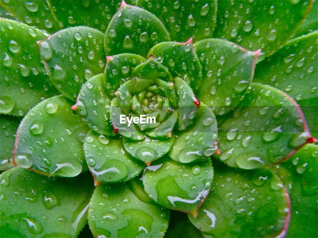 Close-up of wet succulent plant