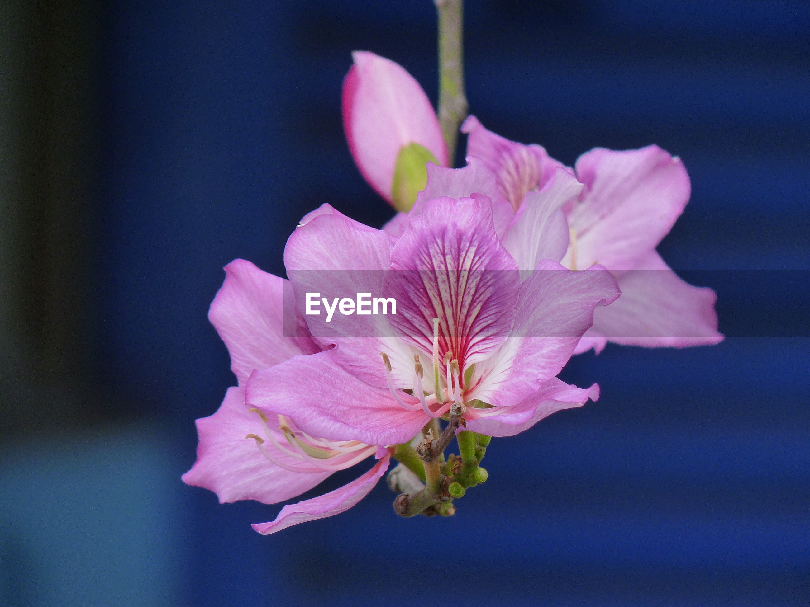 CLOSE-UP OF PINK FLOWERS AGAINST BLURRED BACKGROUND