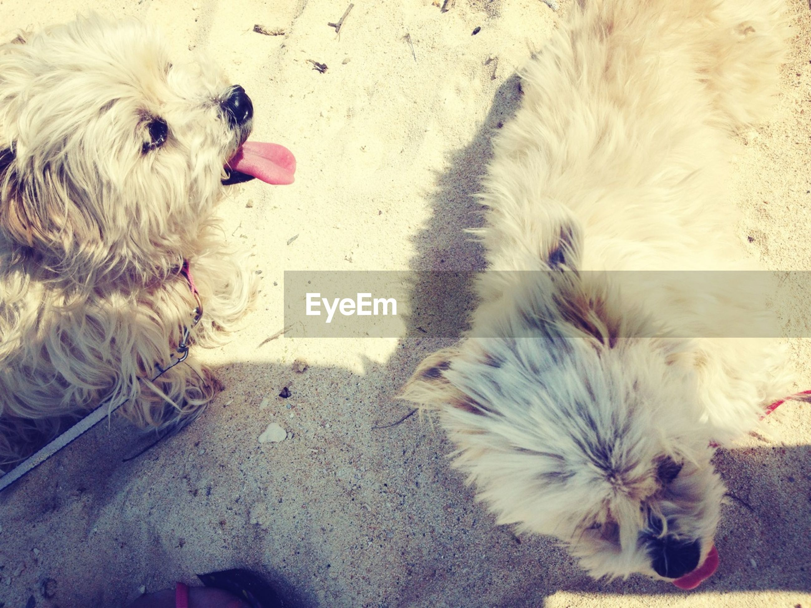 domestic animals, animal themes, pets, mammal, dog, one animal, two animals, high angle view, young animal, puppy, lying down, relaxation, togetherness, zoology, three animals, animal hair, canine, pet collar, street, day