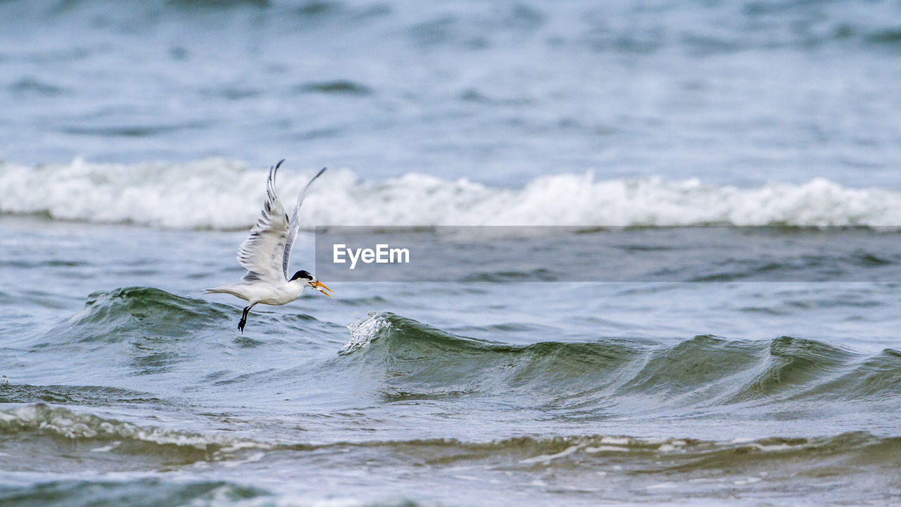 SEAGULL FLYING IN A SEA