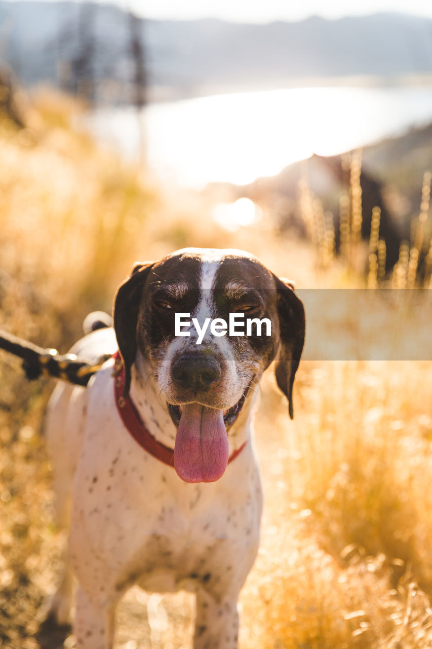 dog, pets, domestic animals, one animal, mammal, animal themes, field, focus on foreground, outdoors, sunlight, portrait, day, no people, looking at camera, nature, tree, grass, close-up