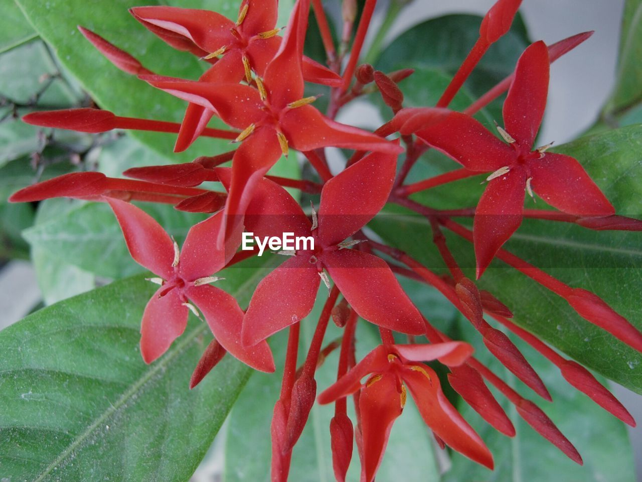 red, growth, ixora, nature, close-up, petal, leaf, beauty in nature, day, no people, fragility, plant, freshness, focus on foreground, flower, flower head, outdoors, water