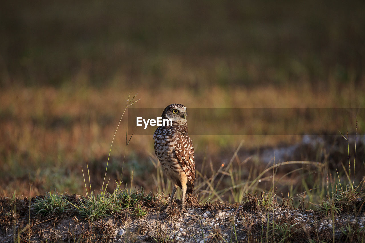 animals in the wild, animal wildlife, one animal, land, field, grass, vertebrate, no people, selective focus, nature, plant, bird of prey, day, bird, owl, outdoors, looking