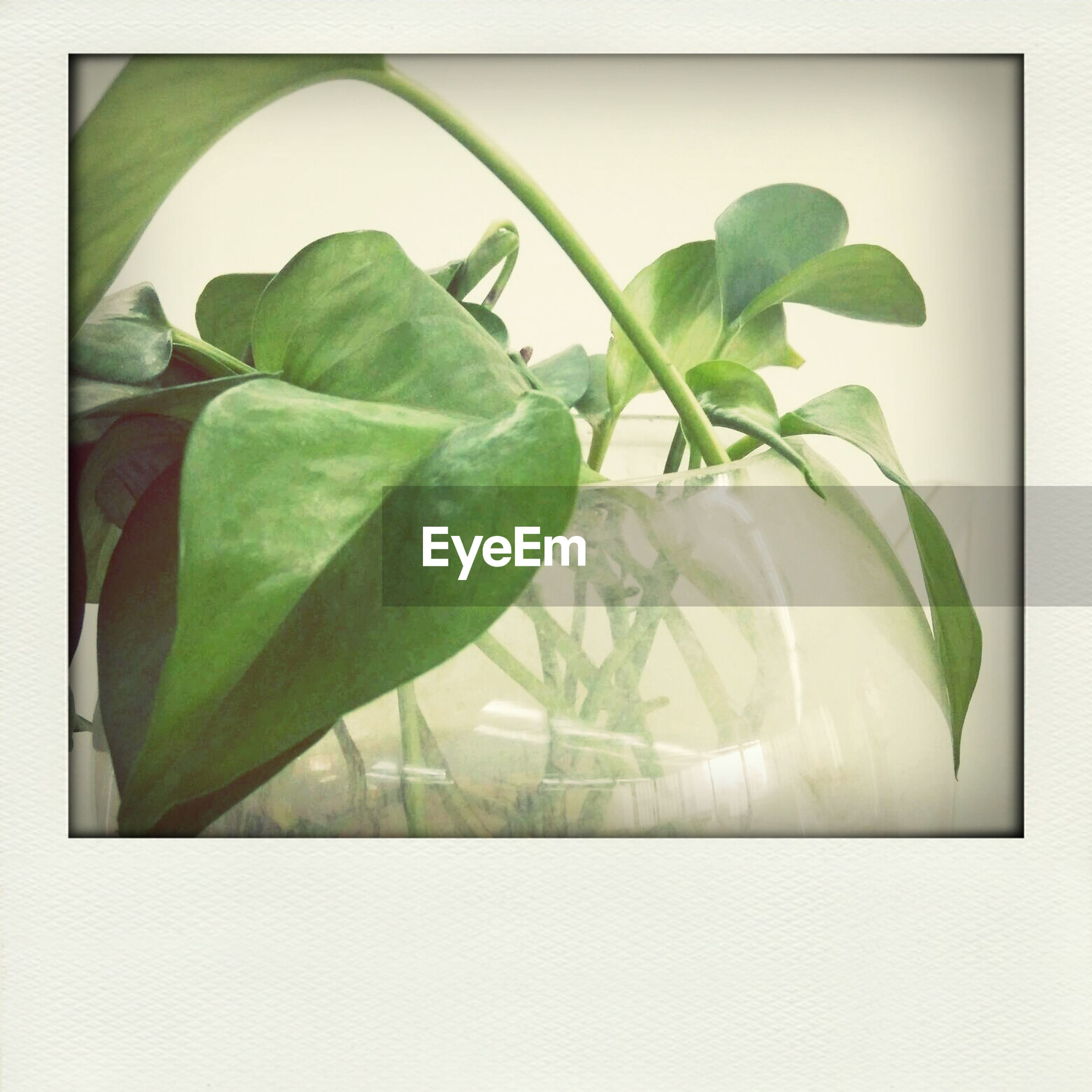 transfer print, leaf, green color, auto post production filter, close-up, studio shot, freshness, white background, indoors, leaf vein, green, plant, food and drink, growth, healthy eating, still life, no people, nature, leaves, vegetable