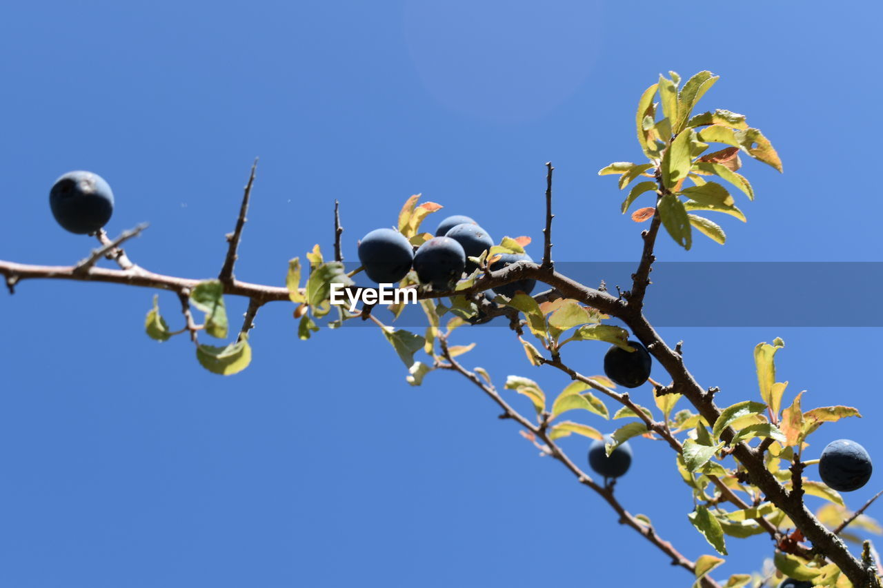 sky, plant, low angle view, branch, tree, clear sky, nature, blue, no people, growth, day, copy space, fruit, bird, leaf, outdoors, plant part, beauty in nature, vertebrate, food