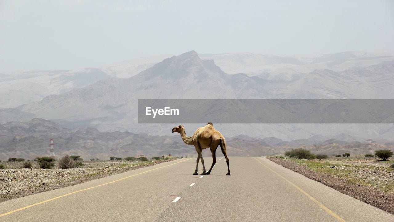 Camel Walking On Road Against Mountain Range
