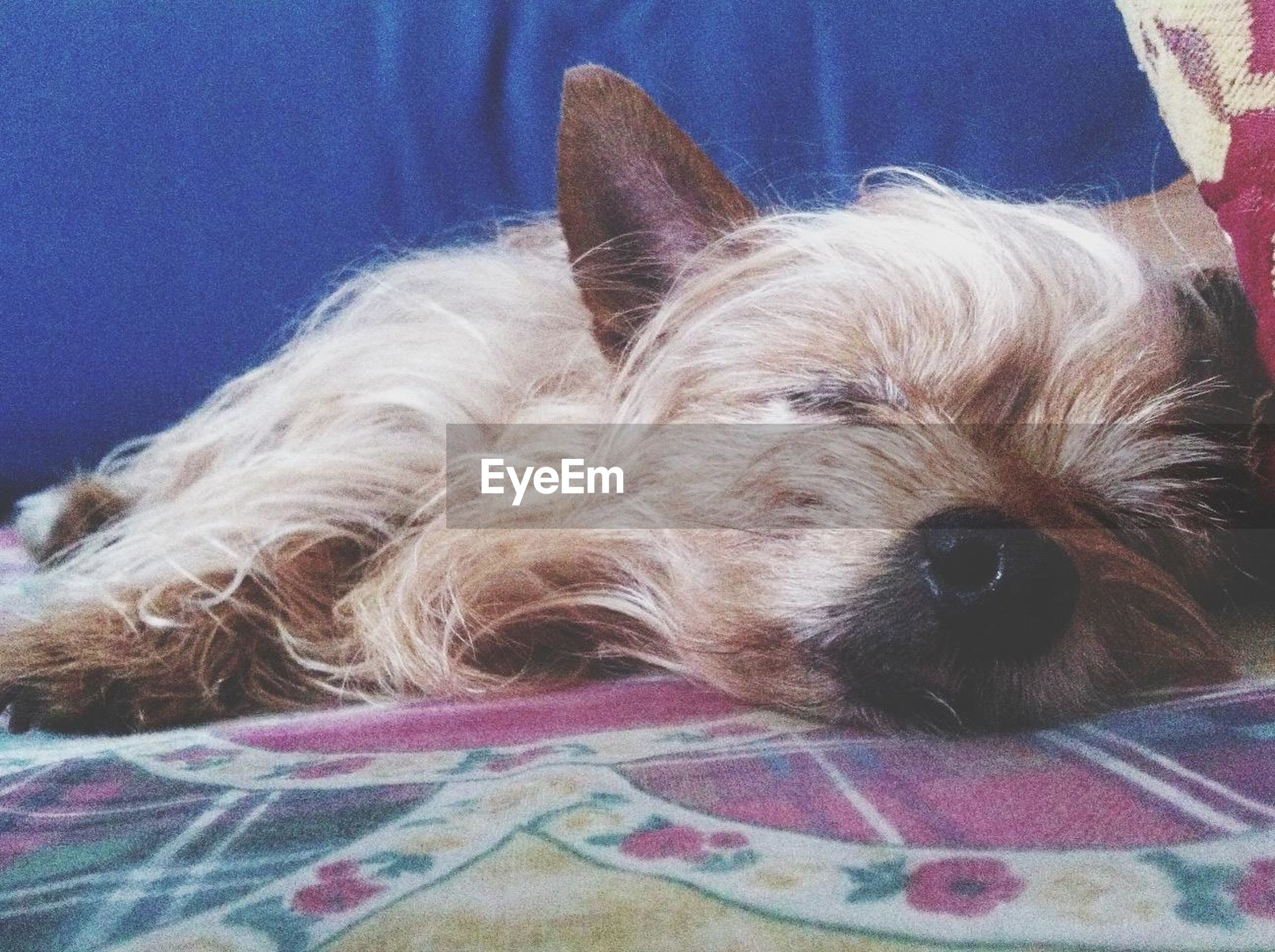 domestic animals, pets, one animal, dog, animal themes, mammal, indoors, relaxation, close-up, animal head, resting, lying down, animal hair, bed, home interior, animal body part, sleeping, no people, portrait, sofa