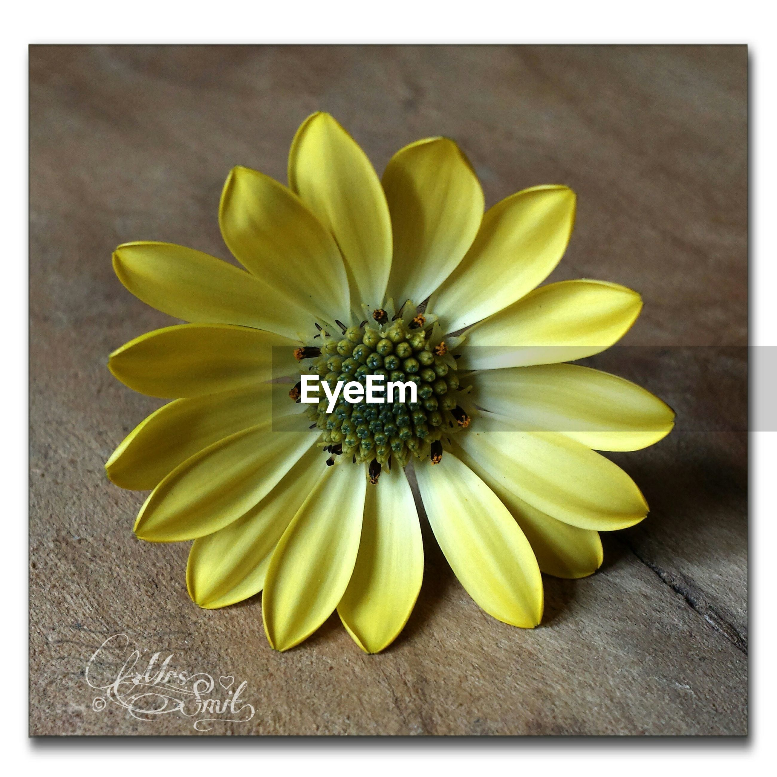 transfer print, yellow, flower, petal, freshness, auto post production filter, flower head, fragility, high angle view, close-up, pollen, single flower, table, indoors, directly above, beauty in nature, still life, nature, no people, daisy