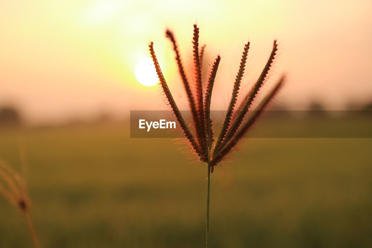 CLOSE-UP OF STALKS IN FIELD DURING SUNSET