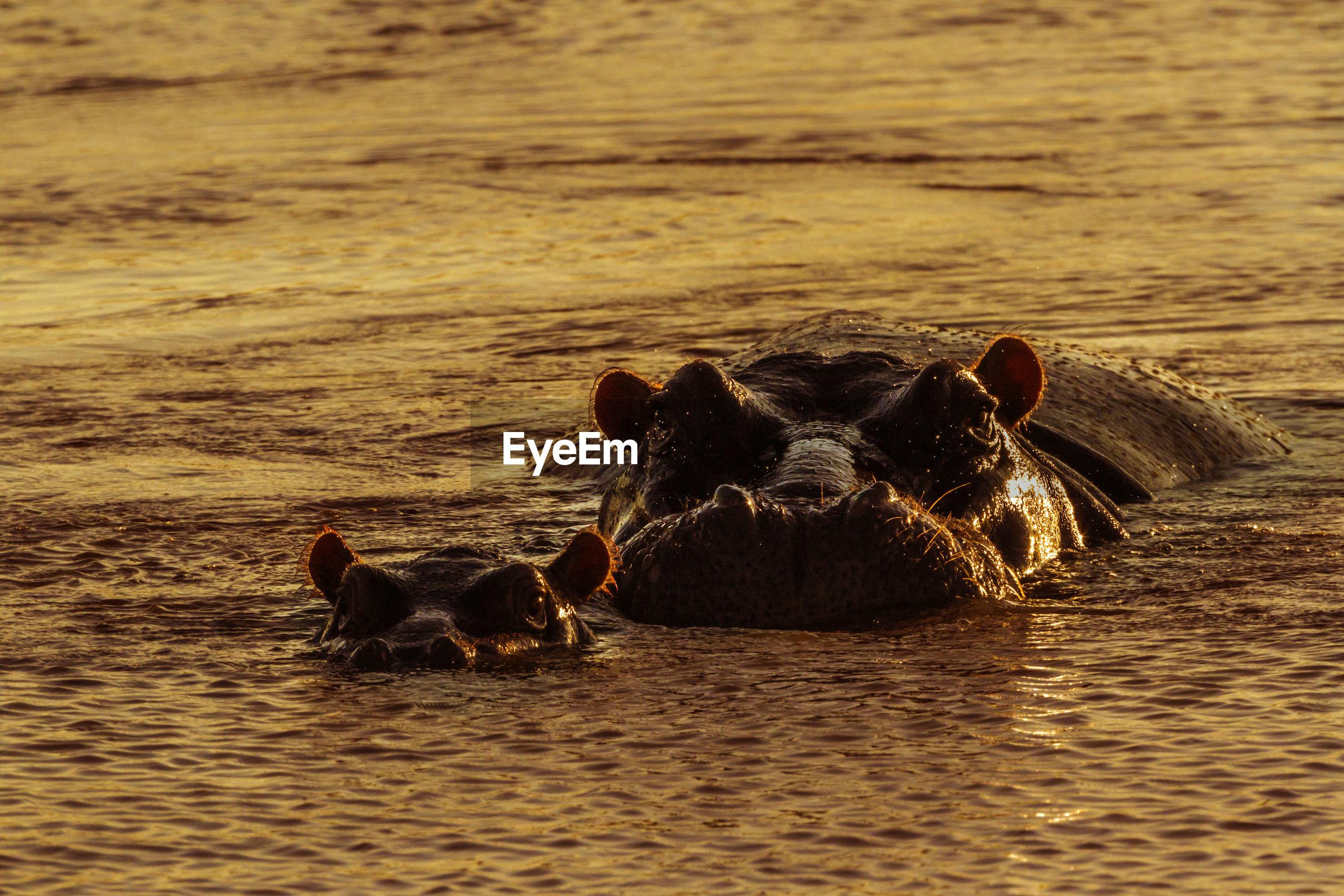 Hippopotamus with calf in river