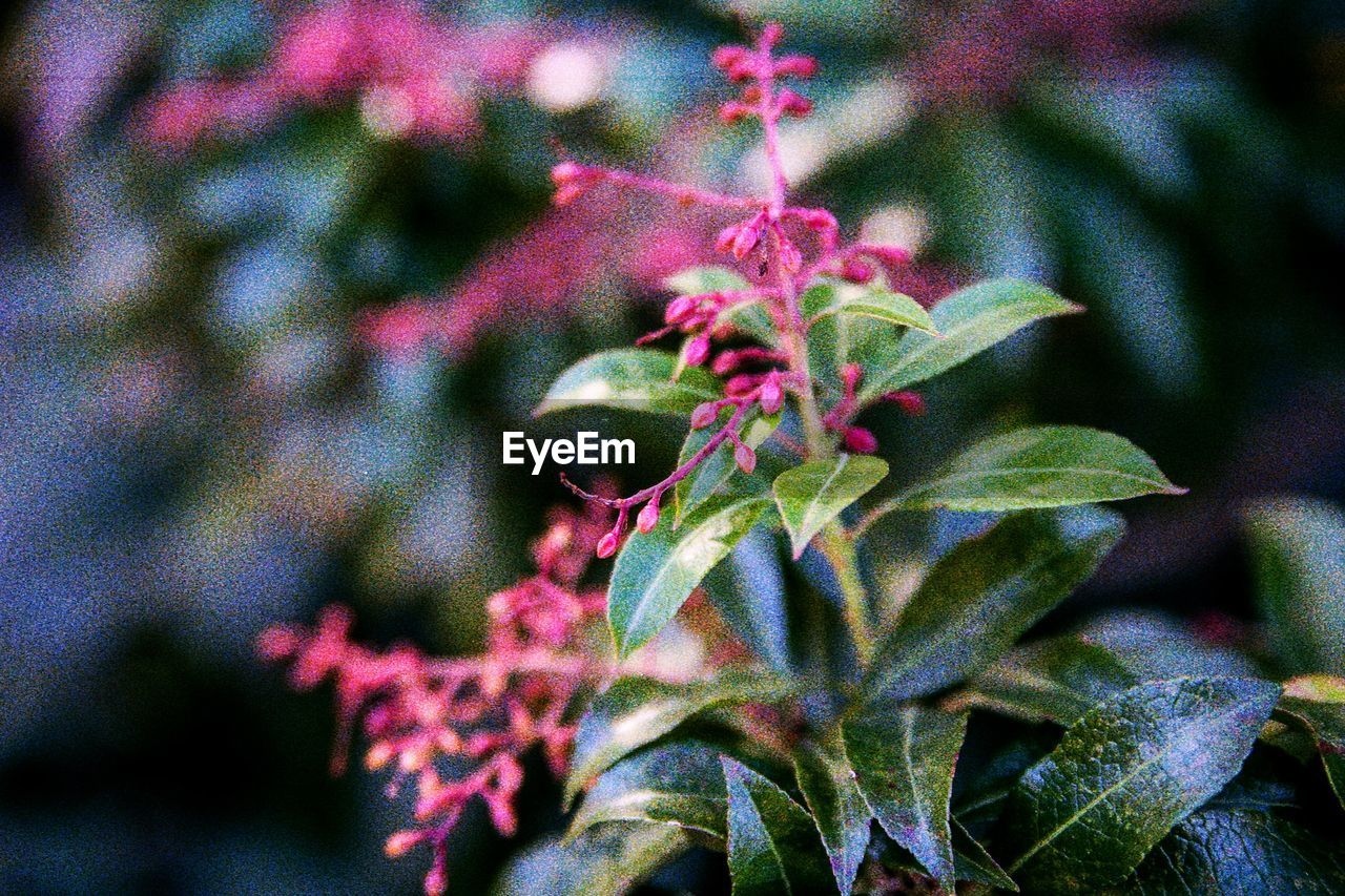 plant, growth, plant part, beauty in nature, leaf, close-up, nature, no people, focus on foreground, day, selective focus, freshness, green color, outdoors, flower, pink color, tranquility, flowering plant, red, fragility