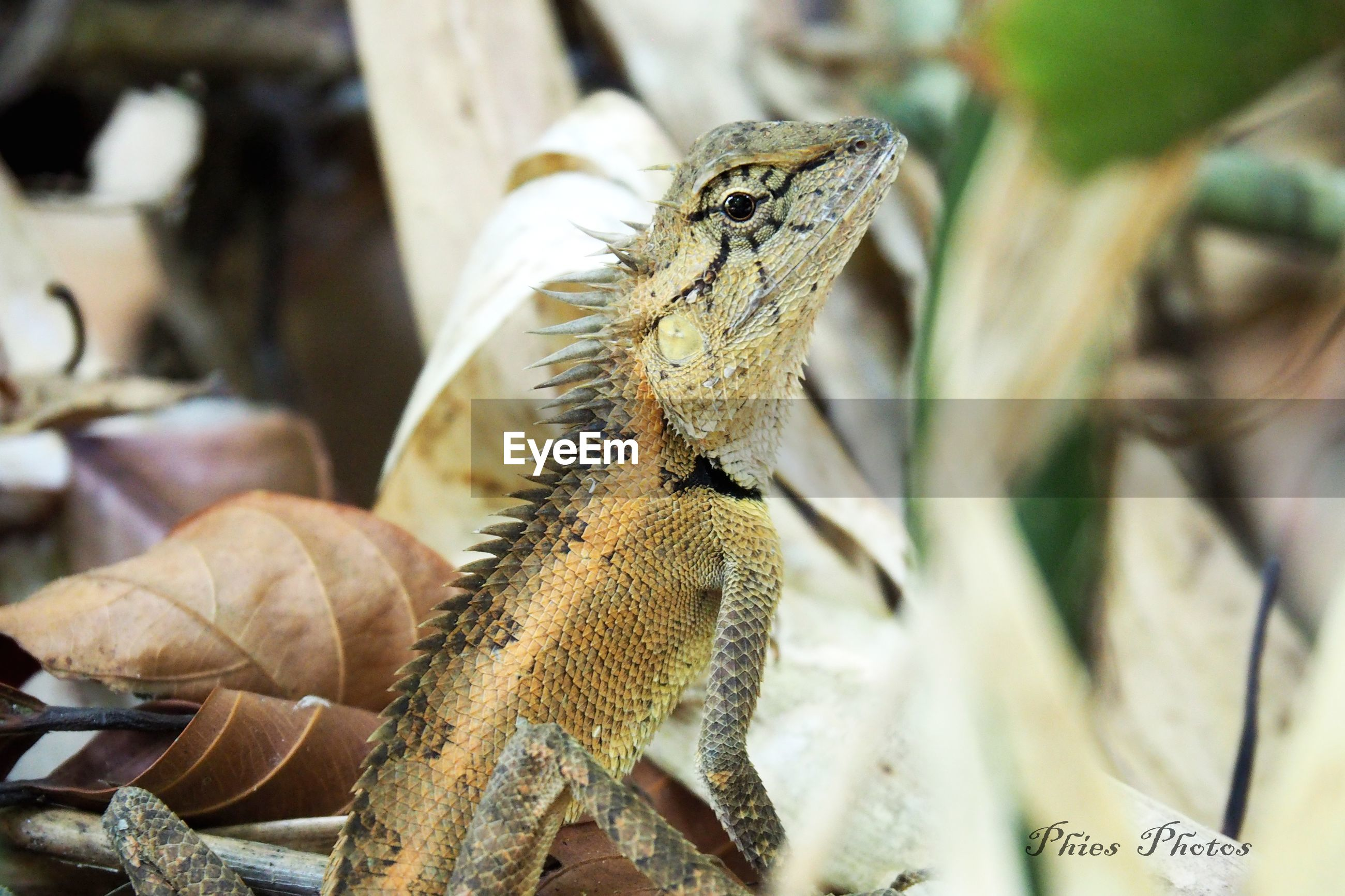 reptile, animal themes, animals in the wild, lizard, animal wildlife, day, one animal, no people, nature, iguana, outdoors, close-up