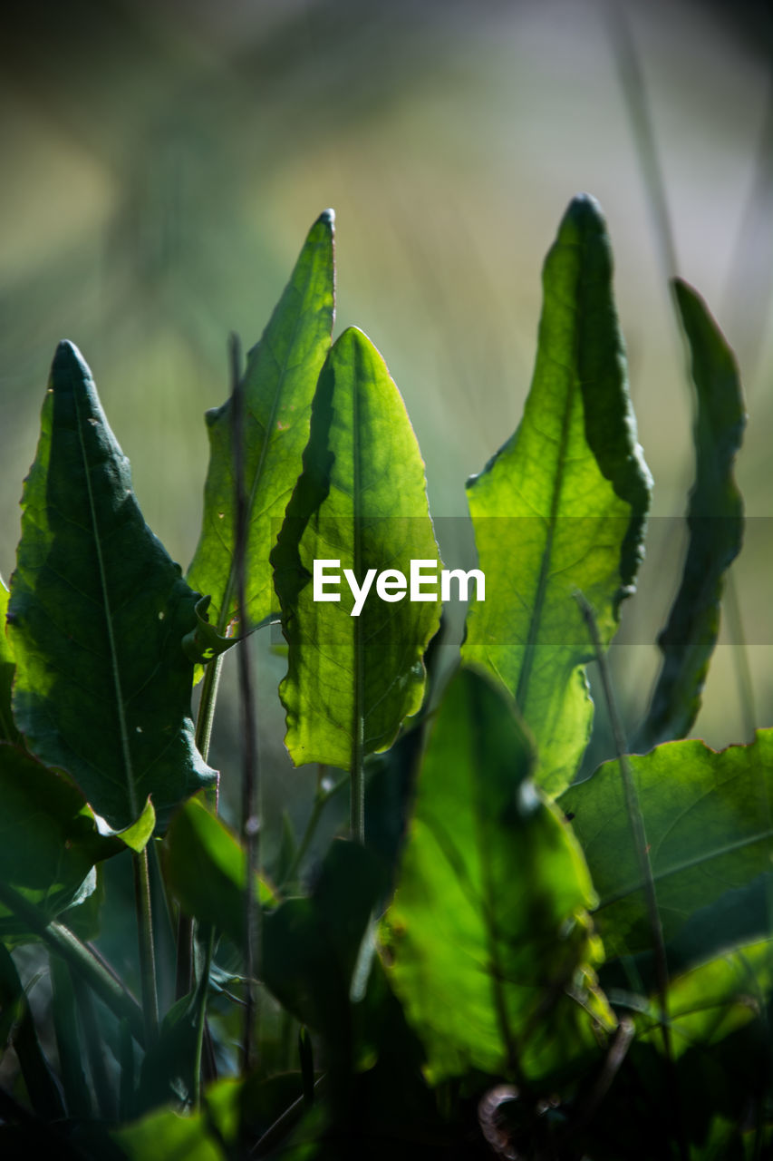 green color, growth, leaf, plant part, plant, beauty in nature, close-up, no people, nature, freshness, day, focus on foreground, selective focus, outdoors, food and drink, sunlight, tranquility, land, food, field