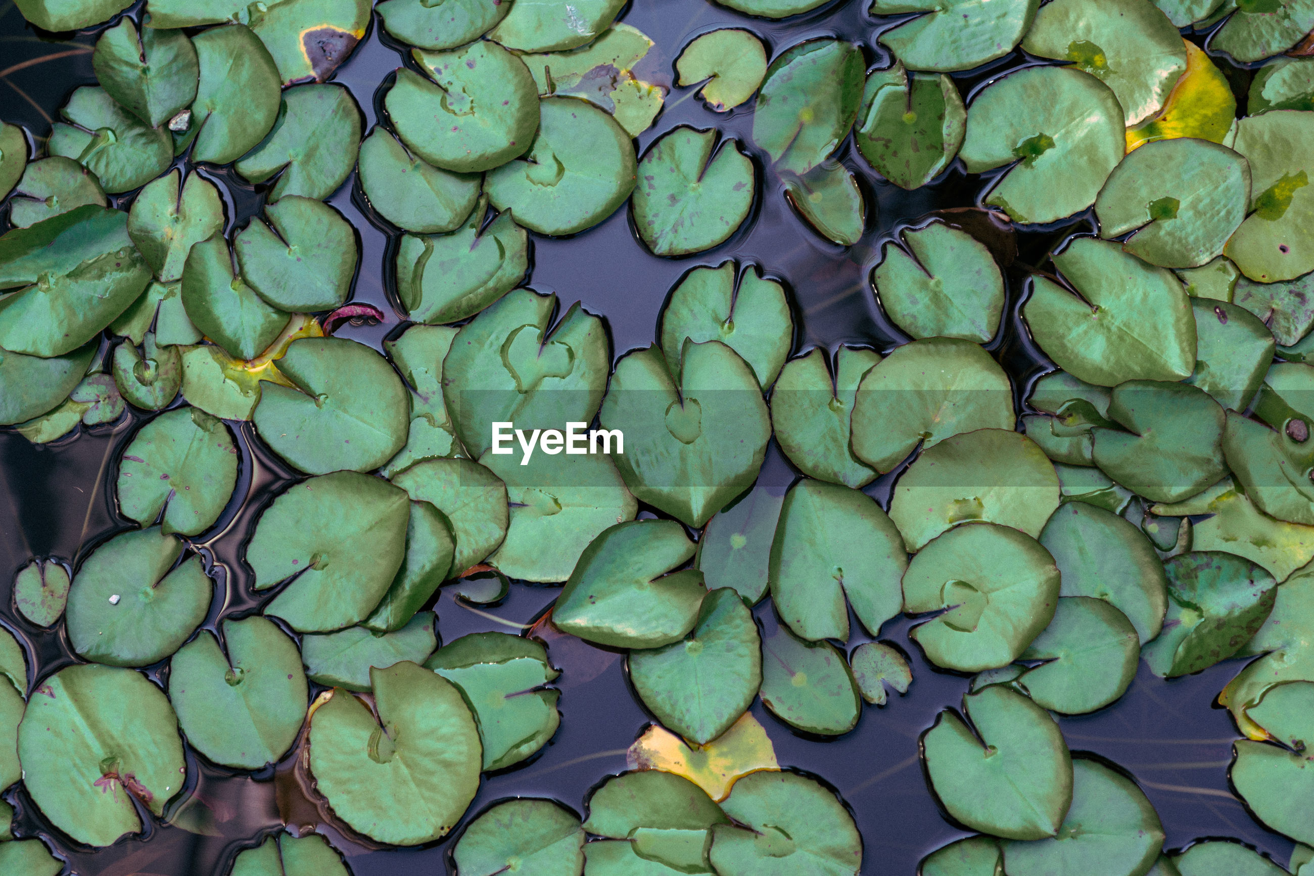 FULL FRAME SHOT OF WATER LILY LEAVES