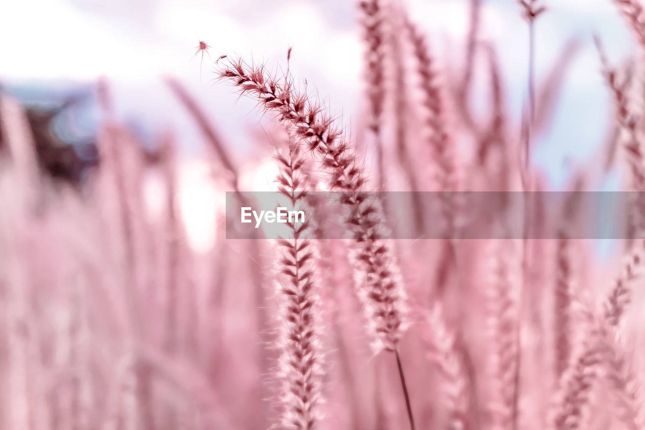 selective focus, close-up, pink color, plant, beauty in nature, no people, growth, nature, vulnerability, fragility, day, flowering plant, flower, freshness, backgrounds, outdoors, full frame, tranquility, plant stem, pattern, purple