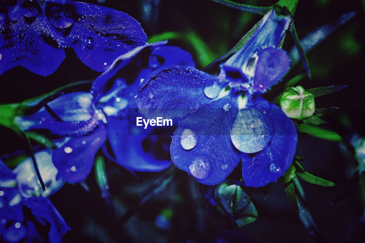 drop, water, wet, beauty in nature, nature, growth, close-up, fragility, plant, leaf, no people, freshness, petal, raindrop, flower, outdoors, day, flower head, blue, purity