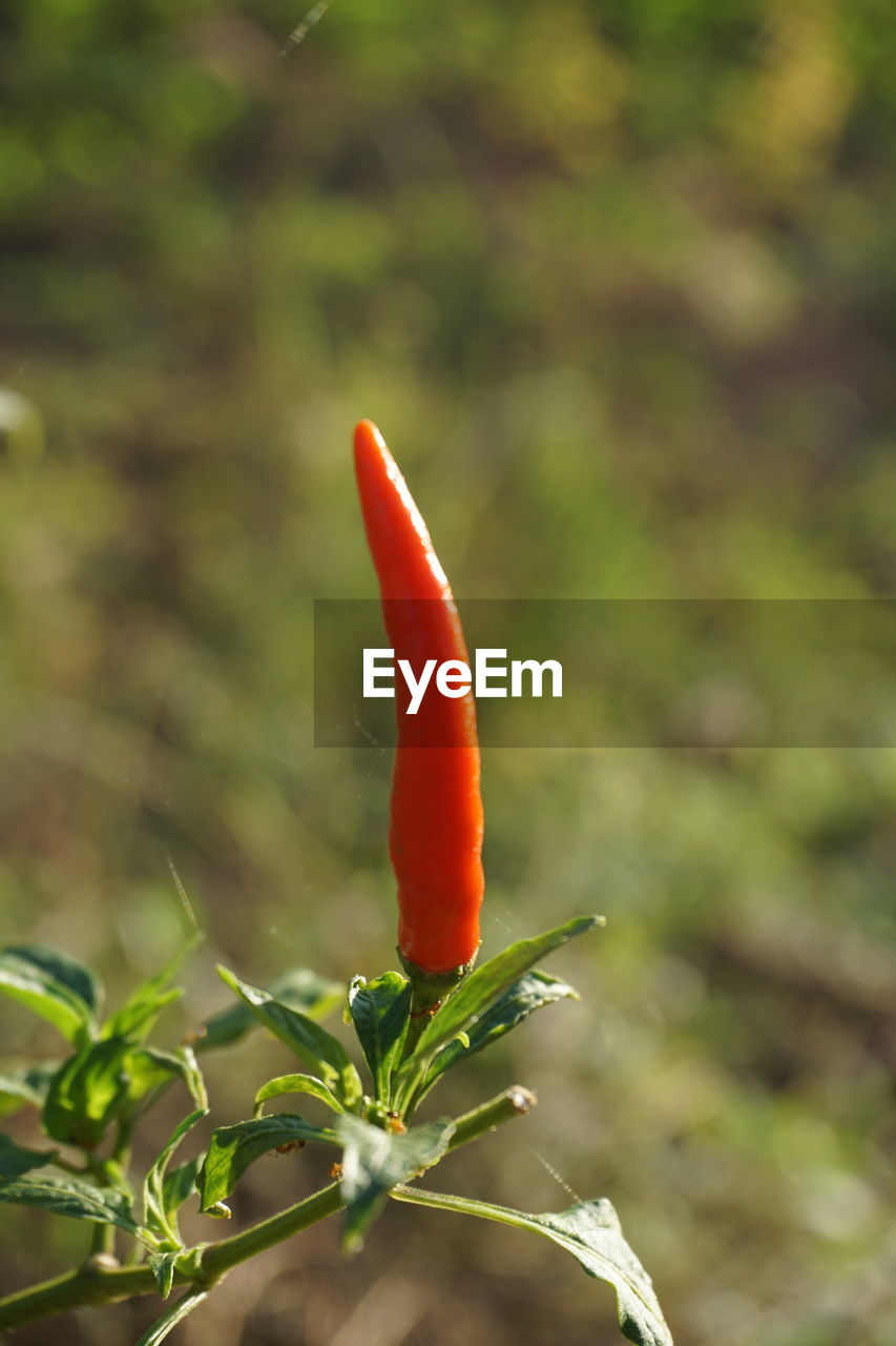 red, green color, growth, focus on foreground, no people, nature, outdoors, plant, close-up, beauty in nature, day, freshness