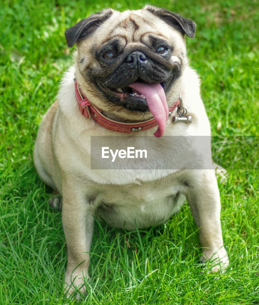 one animal, animal, animal themes, mammal, domestic animals, domestic, grass, pets, canine, dog, pug, plant, lap dog, portrait, vertebrate, field, nature, small, no people, land, animal tongue, panting, mouth open