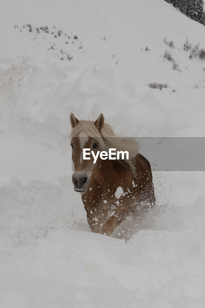 snow, cold temperature, animal themes, one animal, animal, winter, mammal, pets, domestic animals, vertebrate, canine, domestic, dog, white color, land, nature, field, day, covering, no people, outdoors, snowcapped mountain, animal head