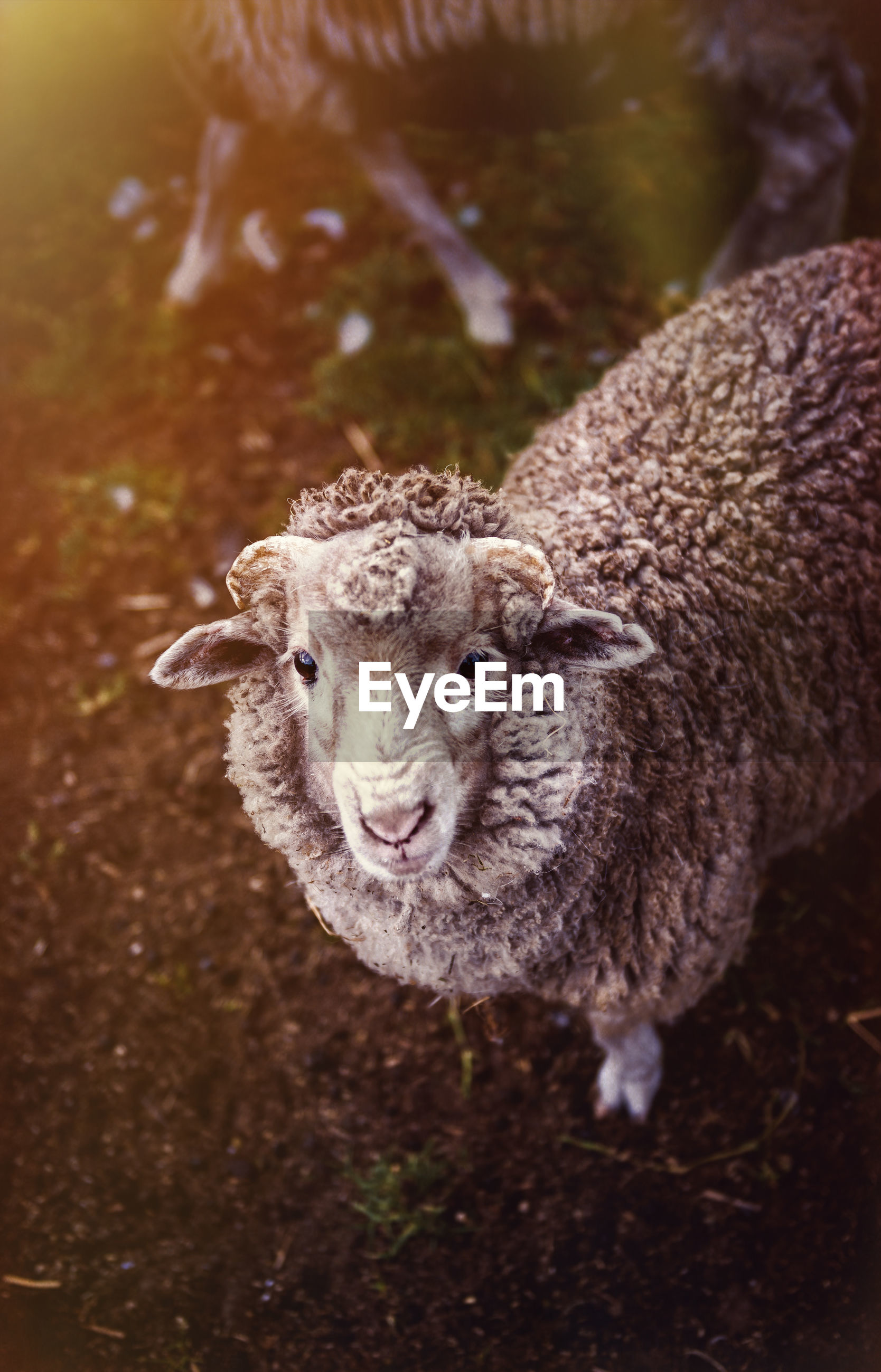 High angle portrait of sheep standing on field