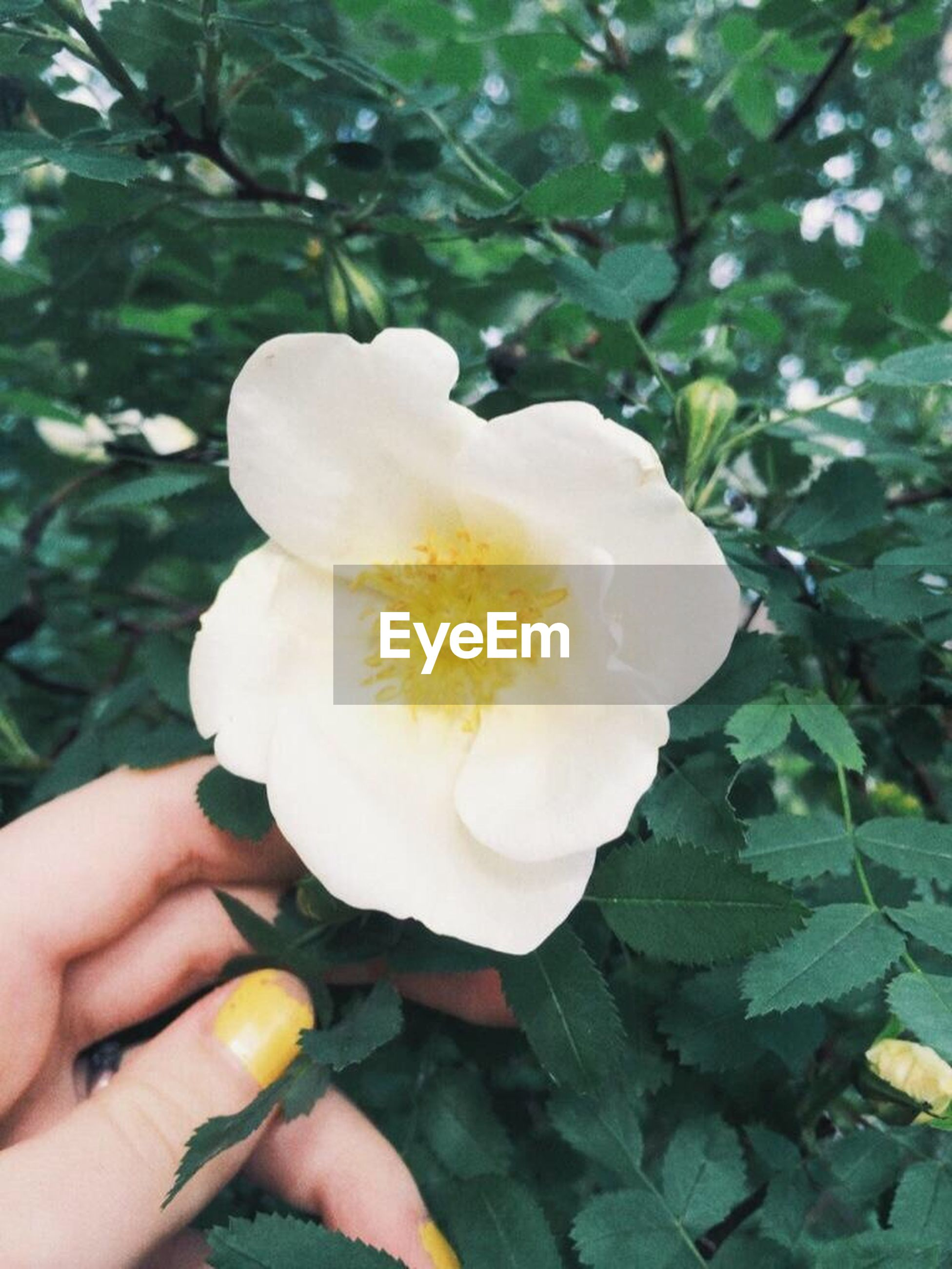 person, holding, flower, freshness, part of, human finger, cropped, unrecognizable person, white color, fragility, petal, flower head, personal perspective, lifestyles, focus on foreground, single flower, close-up