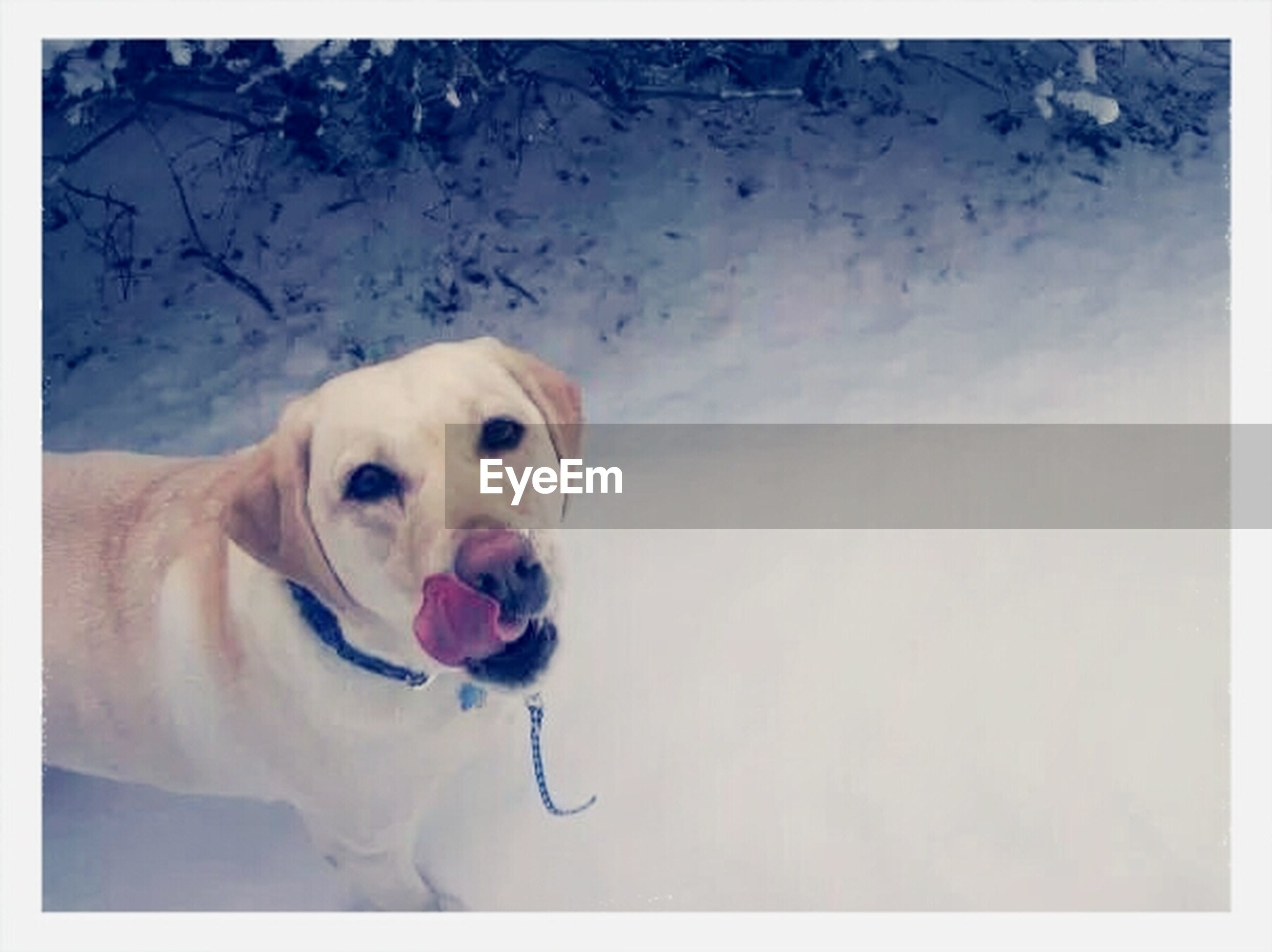 dog, pets, domestic animals, animal themes, one animal, mammal, transfer print, looking at camera, portrait, auto post production filter, white color, pet collar, full length, zoology, animal head, front view, mouth open, snow, cute, winter