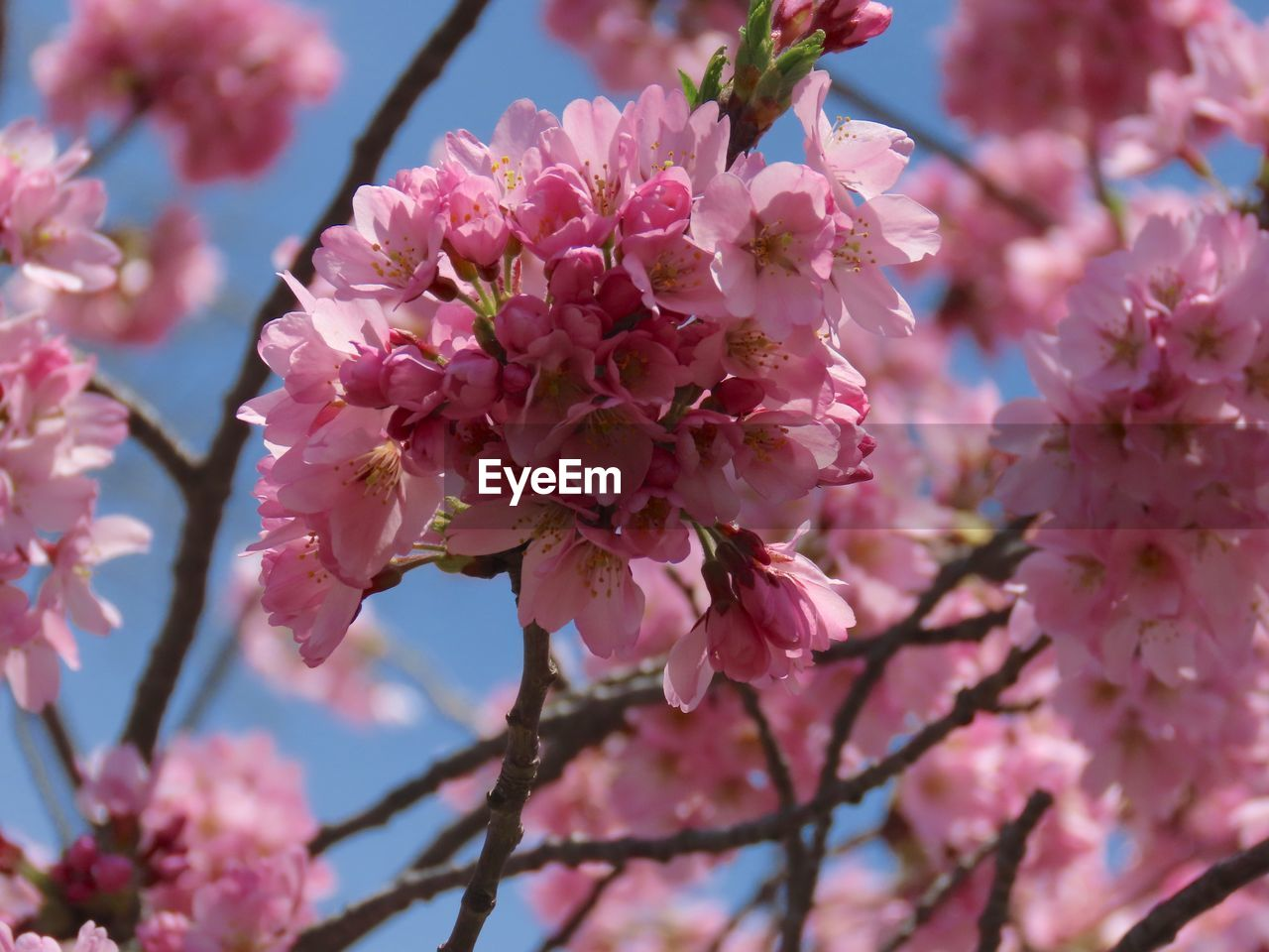 flowering plant, flower, plant, pink color, fragility, growth, freshness, beauty in nature, vulnerability, blossom, tree, springtime, petal, close-up, branch, nature, no people, cherry blossom, day, inflorescence, flower head, cherry tree, outdoors, plum blossom, pollen, spring, bunch of flowers