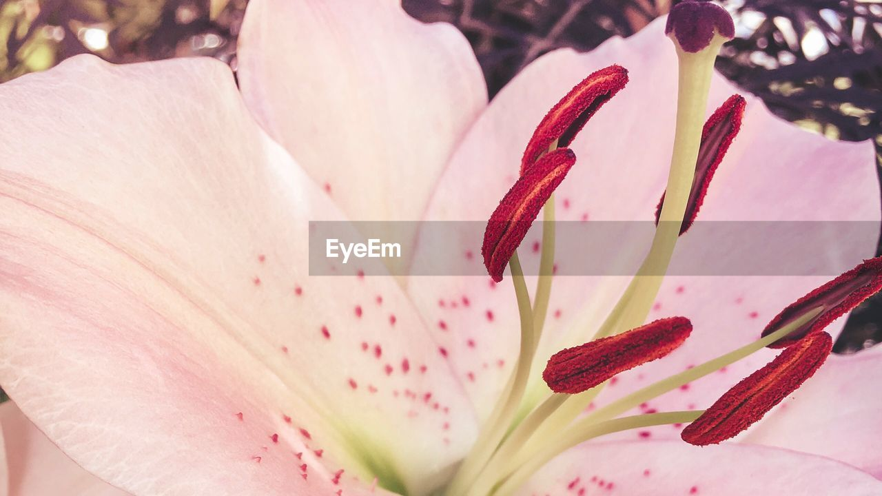 flower, flowering plant, beauty in nature, fragility, petal, vulnerability, freshness, close-up, plant, growth, pink color, inflorescence, pollen, flower head, stamen, lily, no people, nature, botany, outdoors, springtime, softness, soft focus, focus
