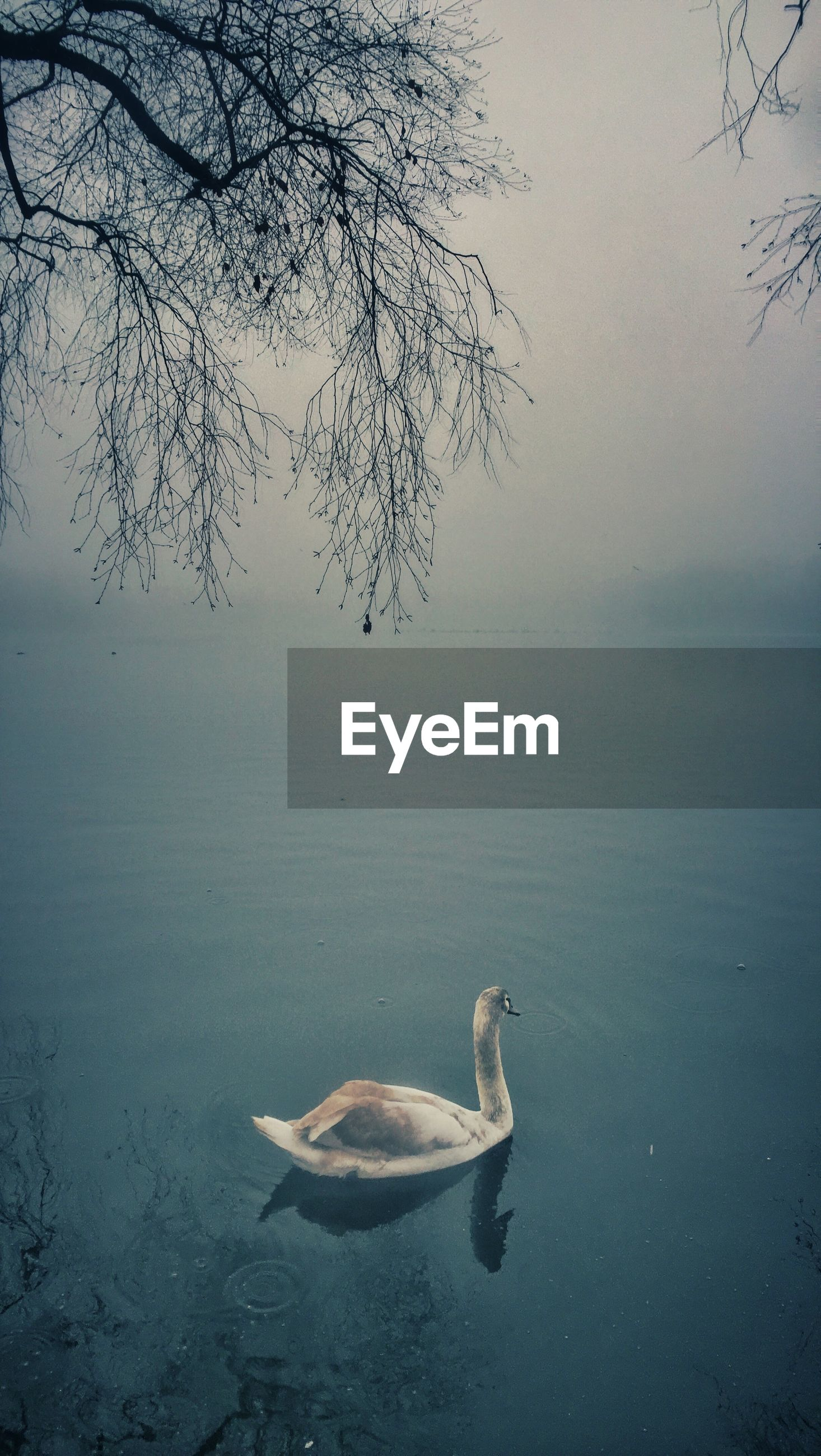animal themes, bird, water, animals in the wild, wildlife, lake, swimming, duck, nature, tranquility, one animal, beauty in nature, tranquil scene, reflection, high angle view, swan, tree, outdoors, branch, waterfront