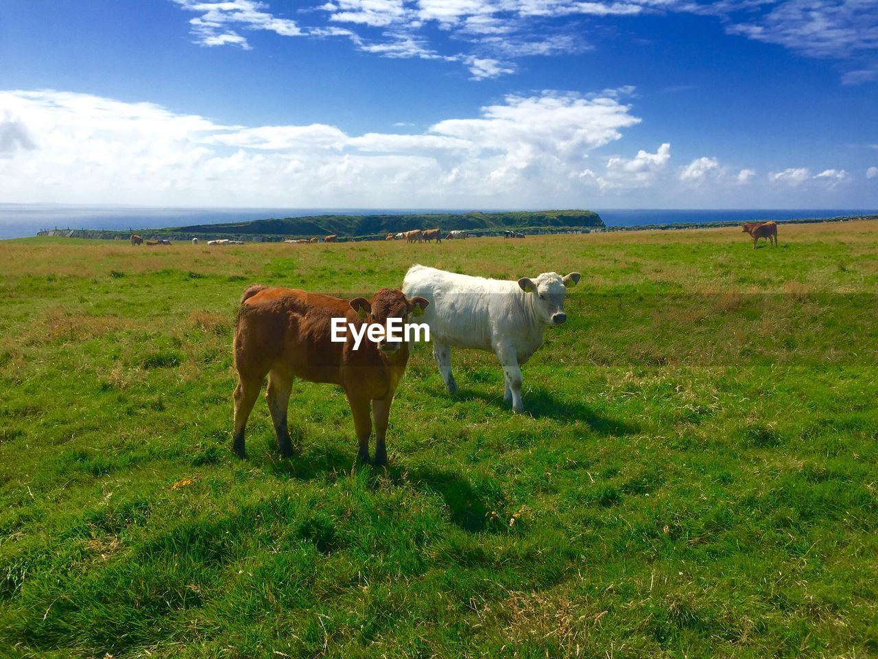 mammal, grass, domestic animals, domestic, field, livestock, animal, pets, land, sky, animal themes, plant, cloud - sky, landscape, environment, group of animals, cattle, vertebrate, nature, green color, no people, herbivorous, outdoors